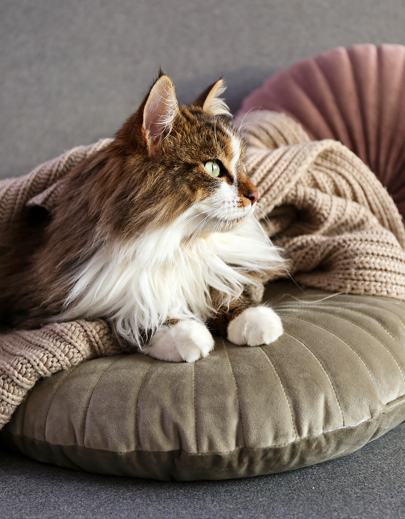 siberian cat resting on pillow and blanket