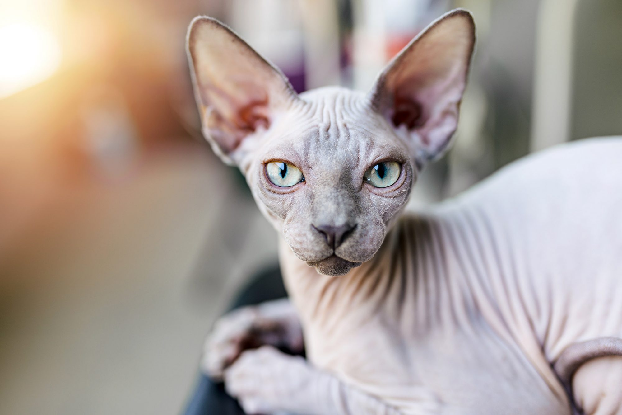 gray sphynx cat sitting by window