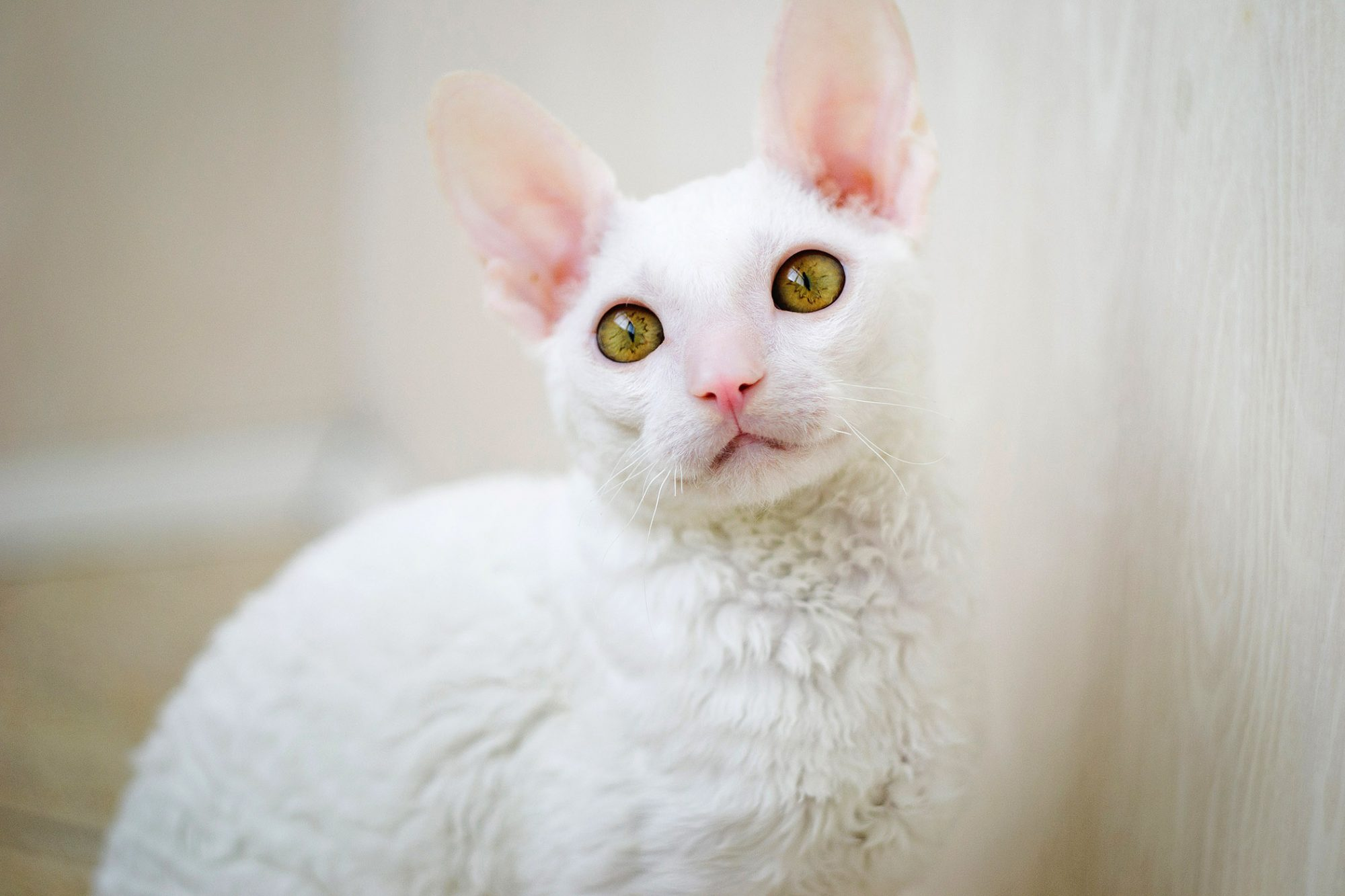 white cornish rex cat with golden eyes