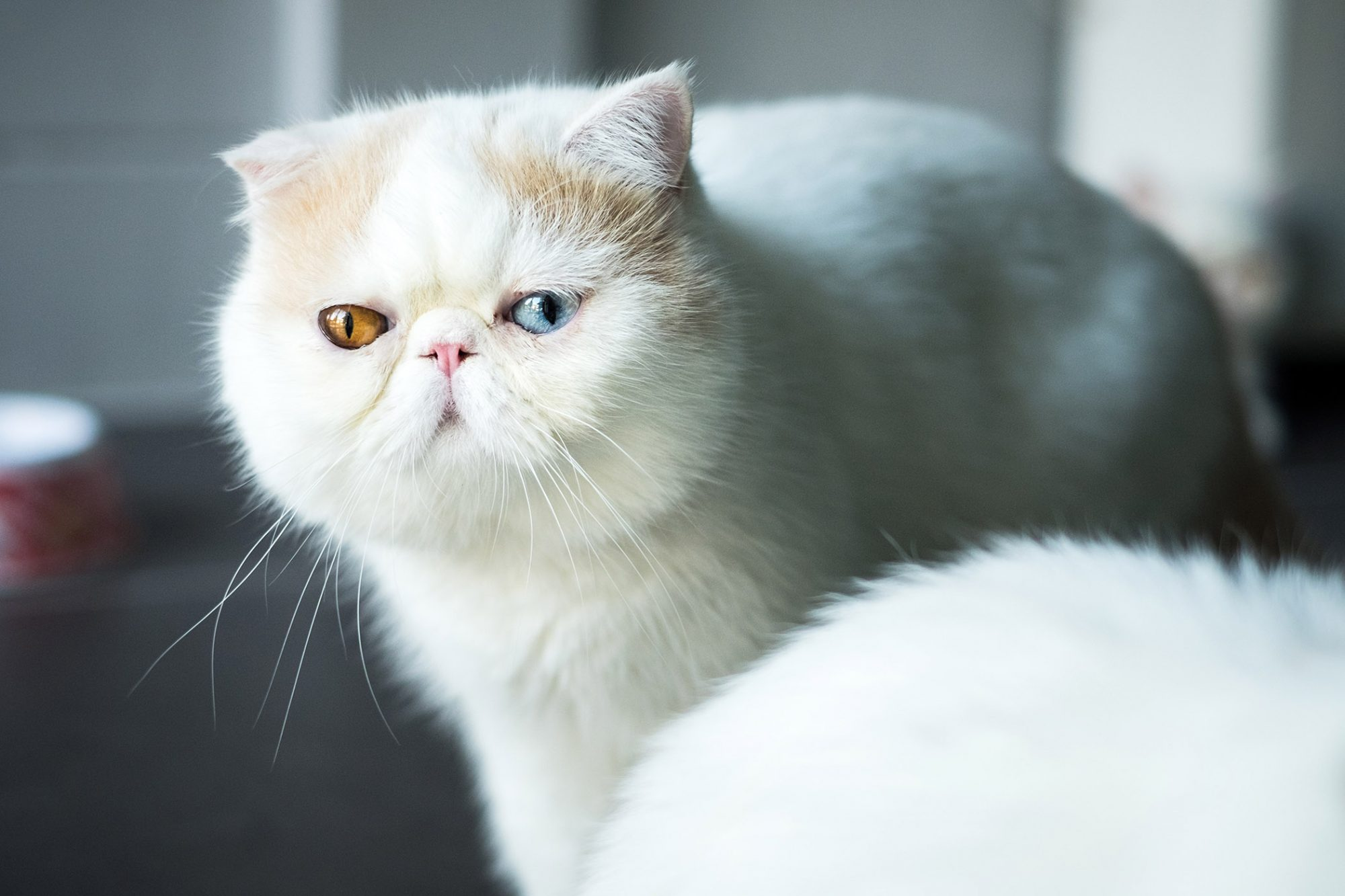 white exotic shorthair cat with different color eyes