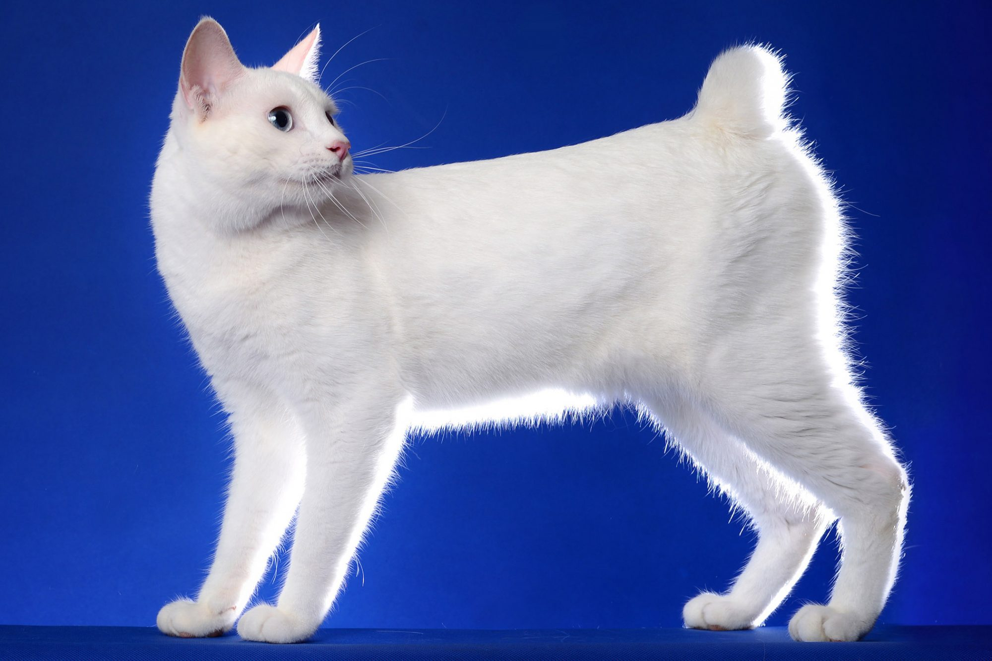 white japanese bobtail cat on blue background