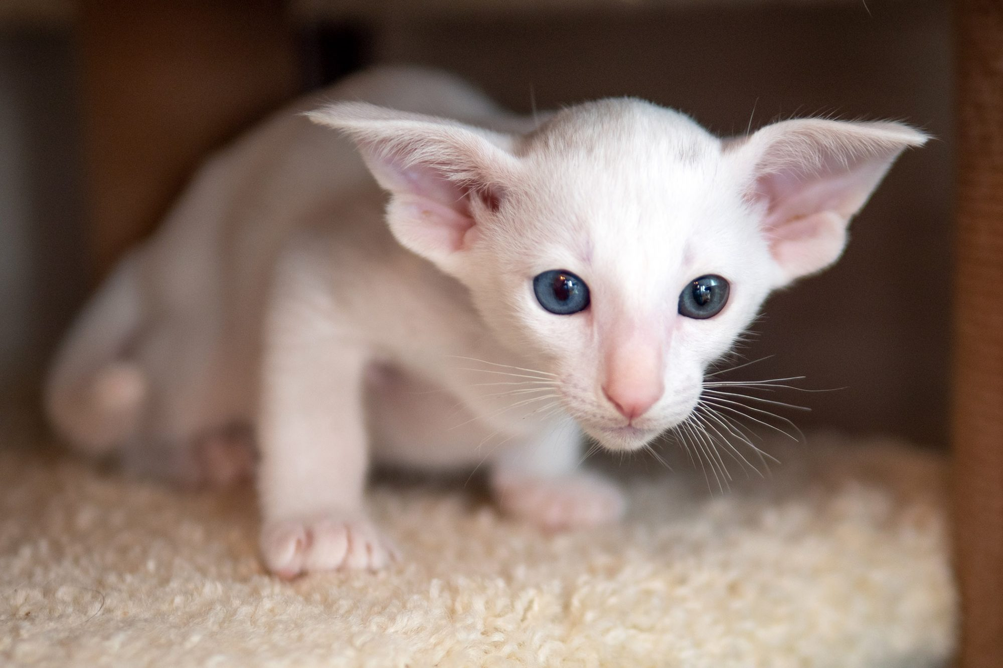 white oriental shorthair cat crouching under cat tree