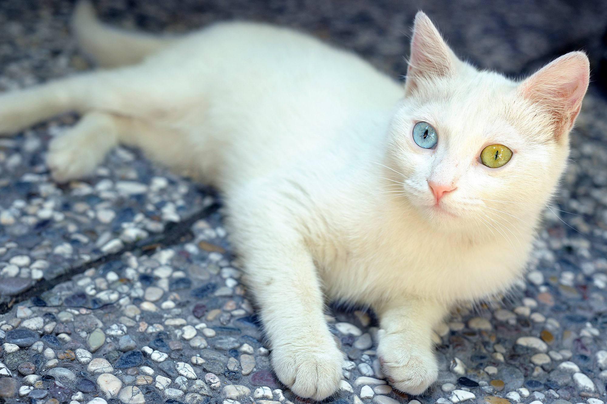 white turkish van cat with two different color eyes
