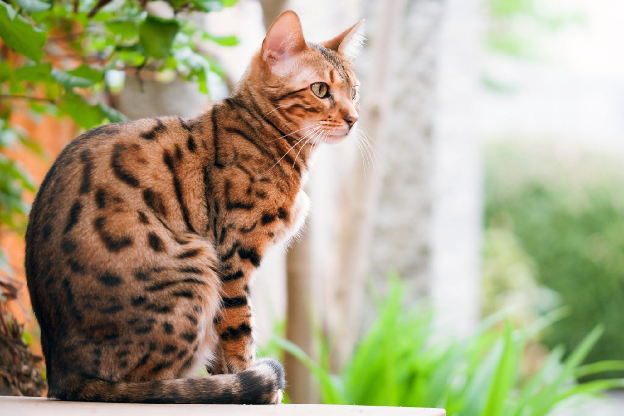 bengal cat sitting outside