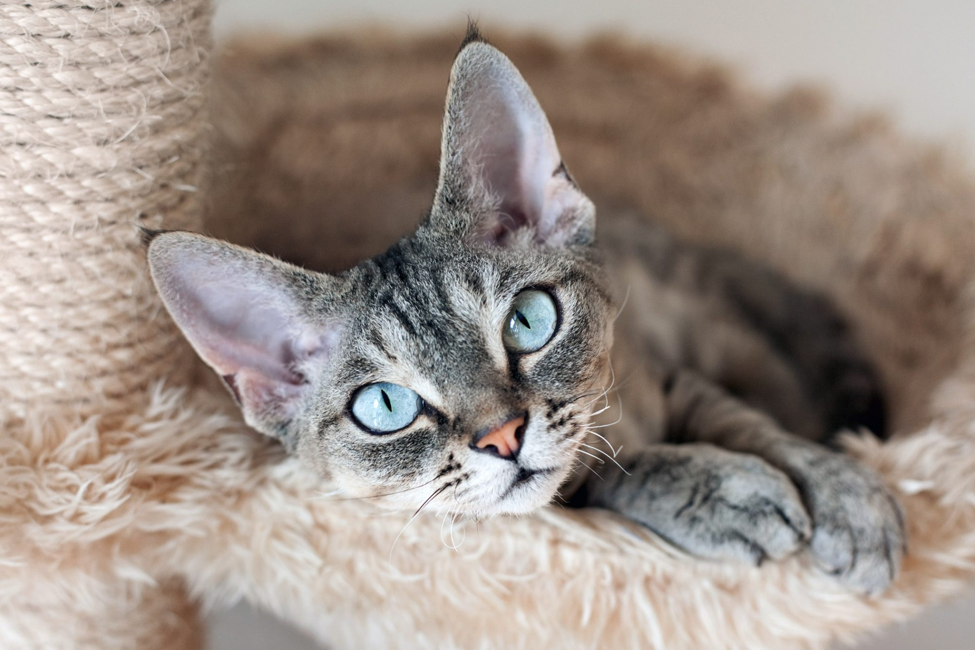 gray tabby devon rex kitten in cat perch