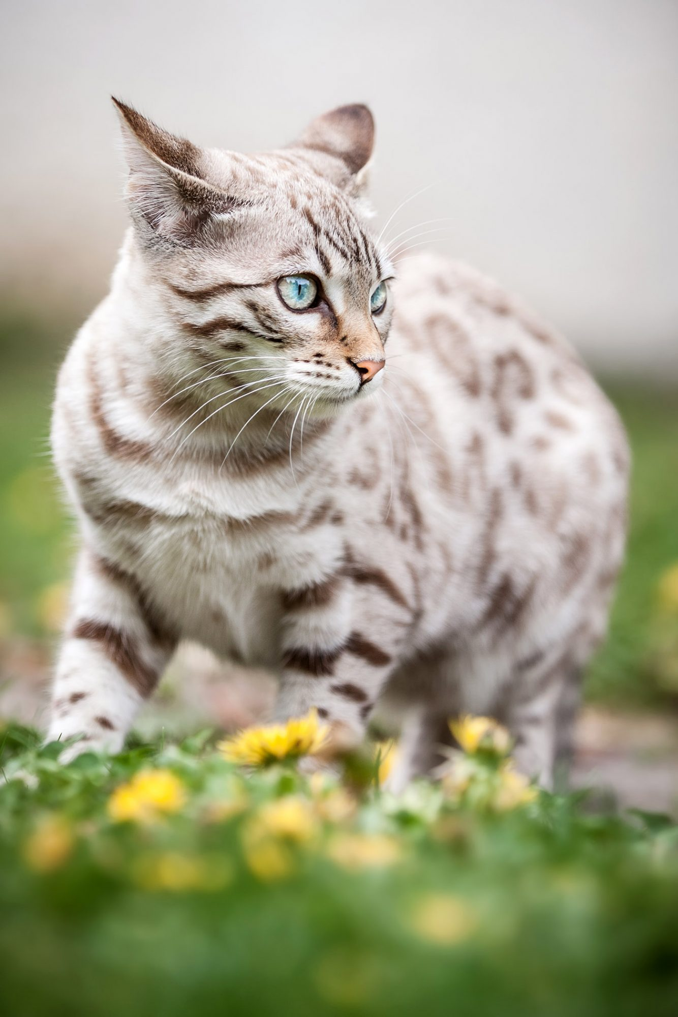 snow lynx bengal cat in grass