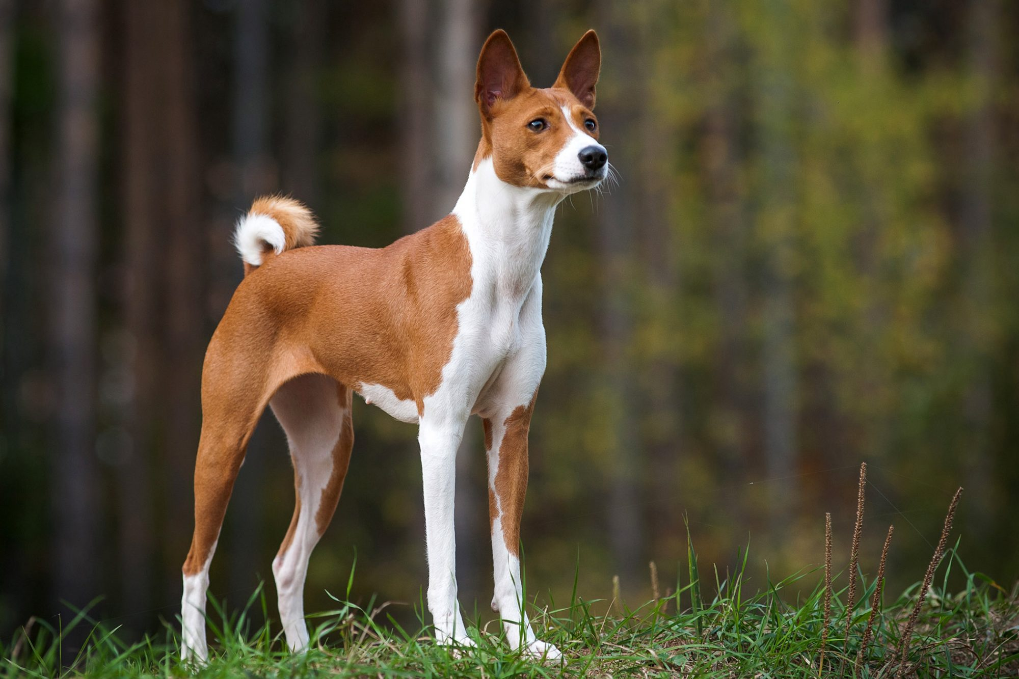 tan and white basenji standing in the woods