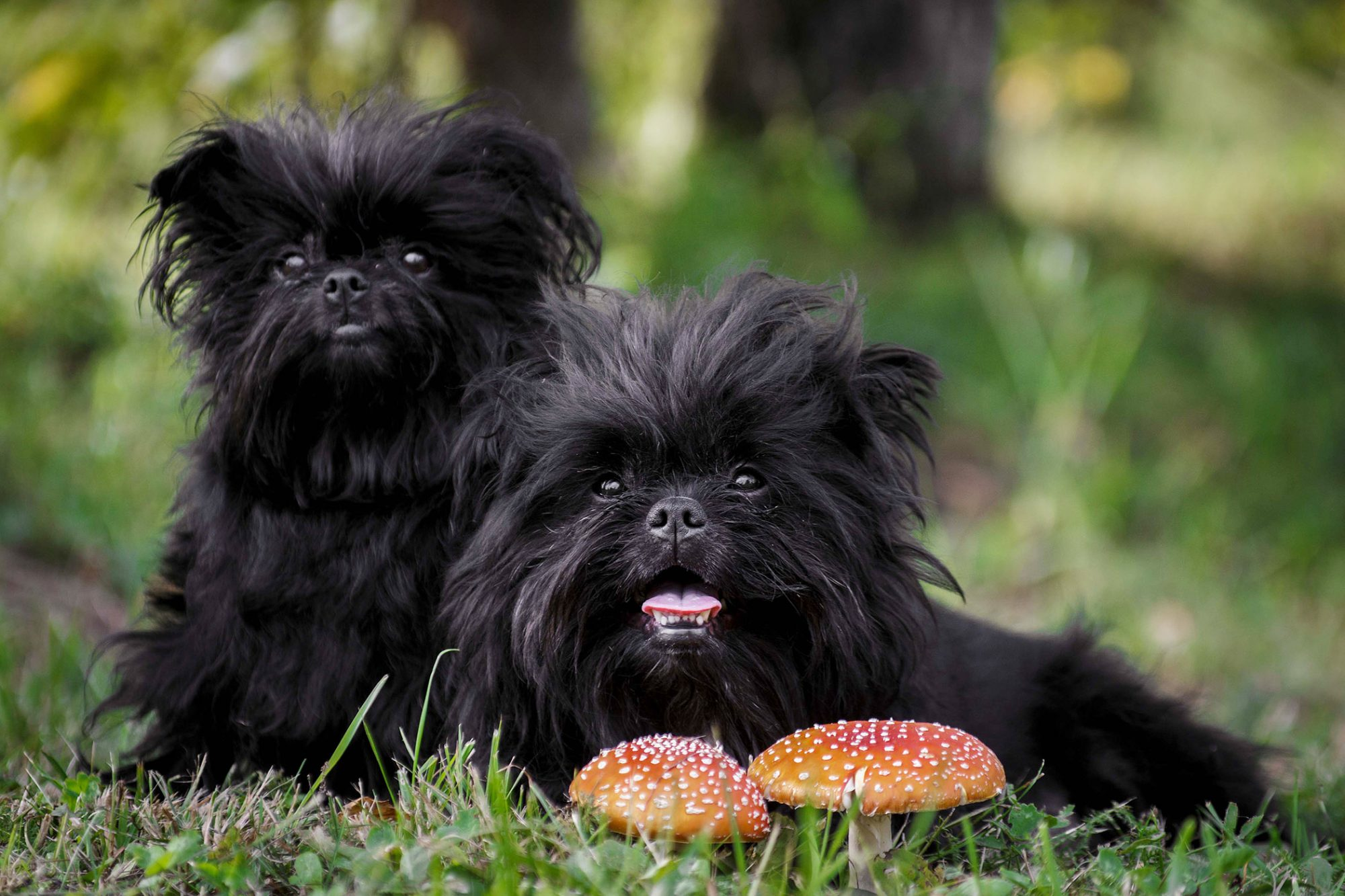 two black affenpinscher dogs lying in grass