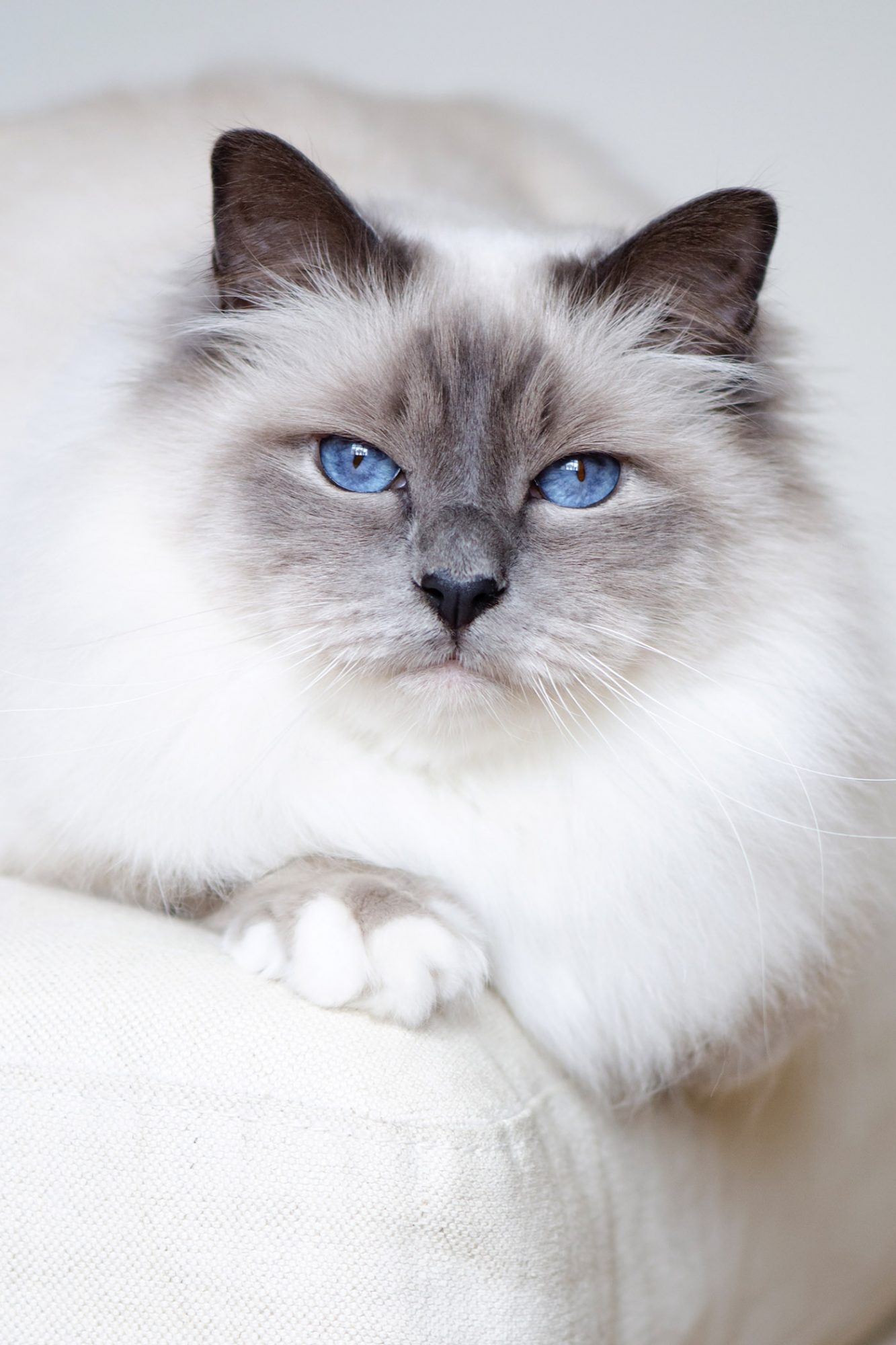 white birman cat with grey colorpoint and blue eyes