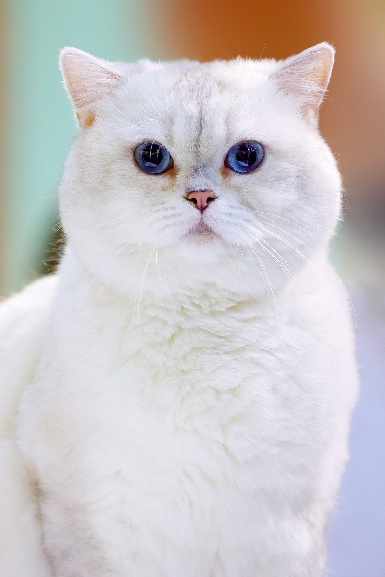 white british shorthair cat with blue eyes