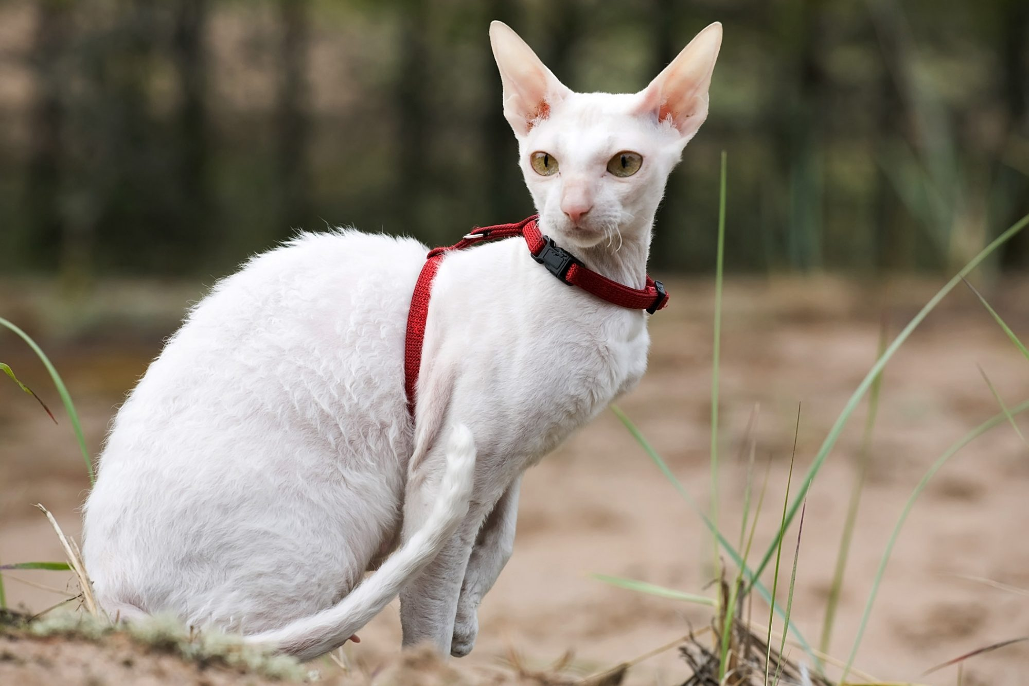 white cornish rex cat with harness sitting on beach