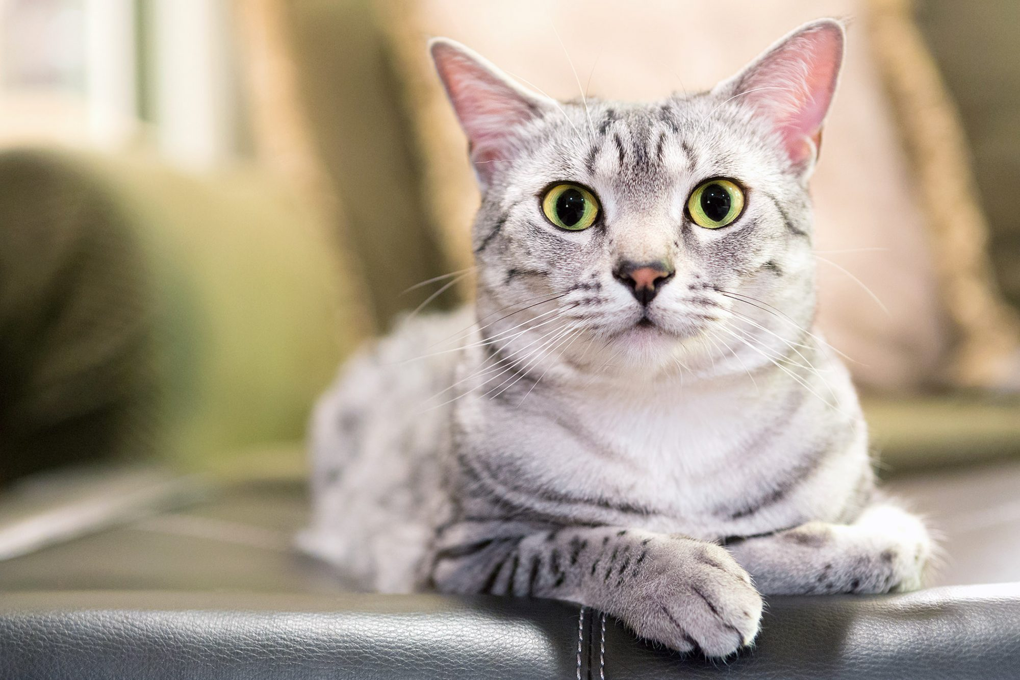 white egyptian mau cat lying on couch