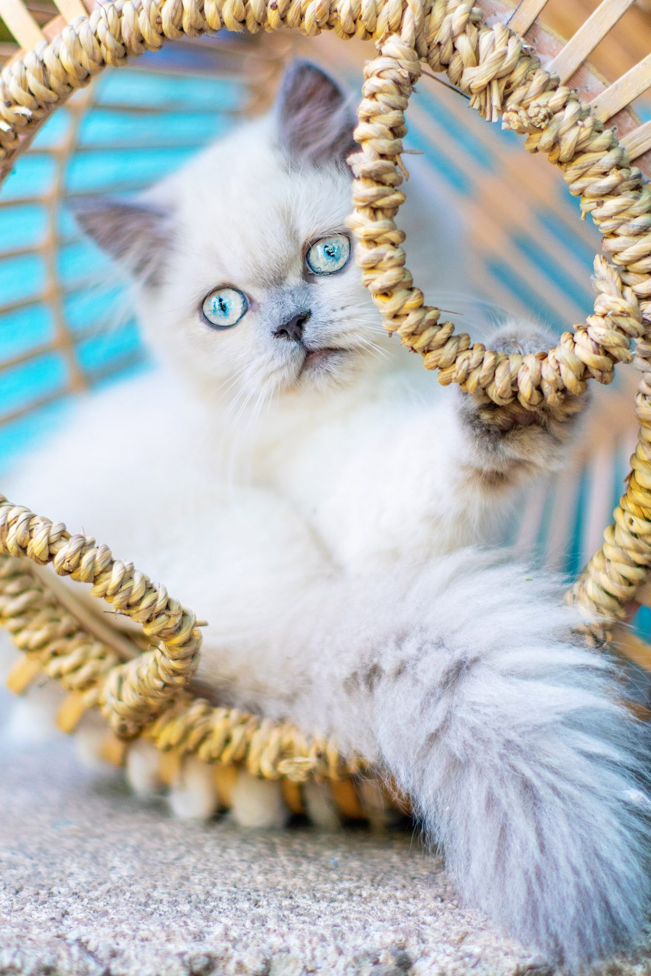white himalayan kitten with blue eyes in basket
