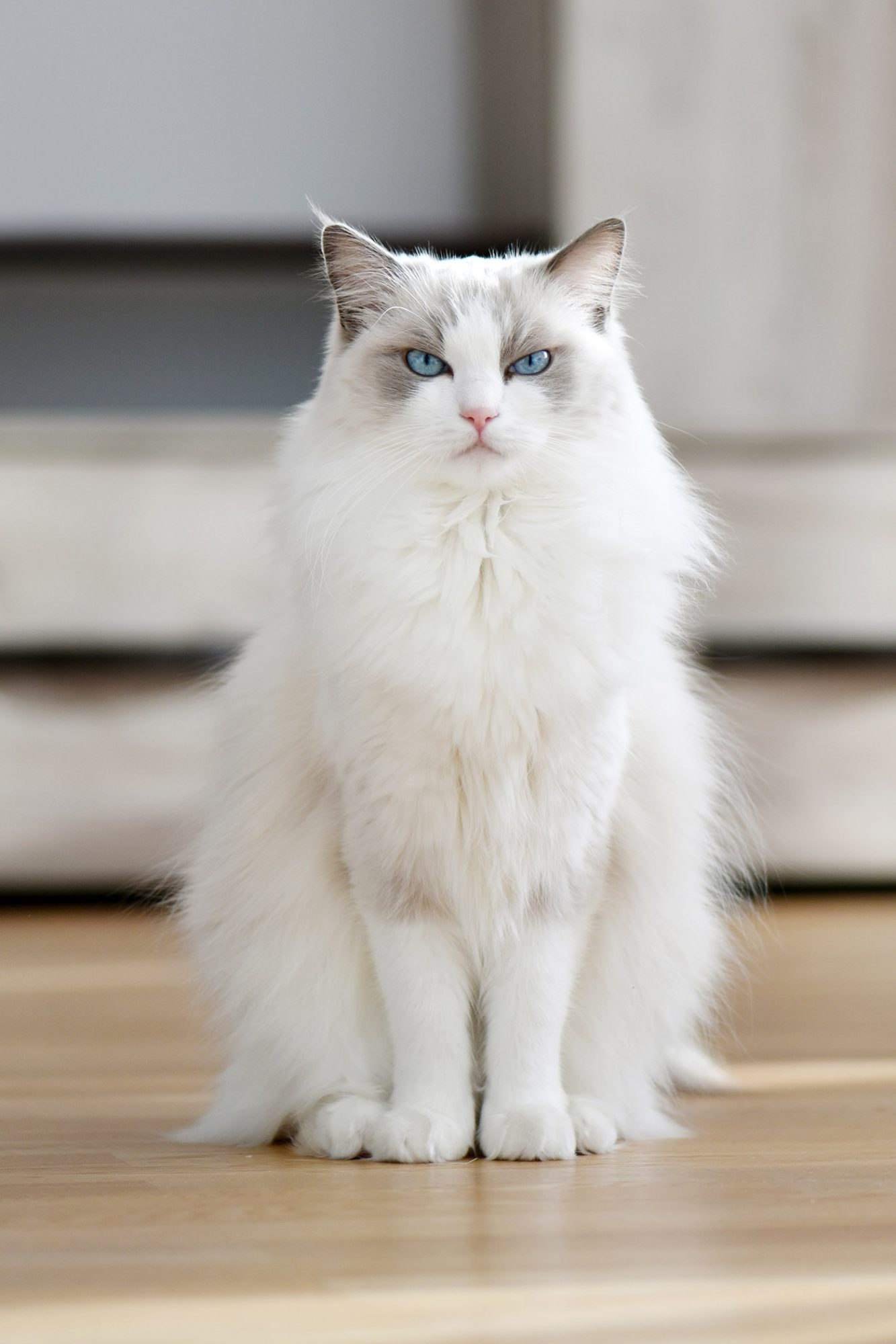 white ragdoll cat with blue eyes