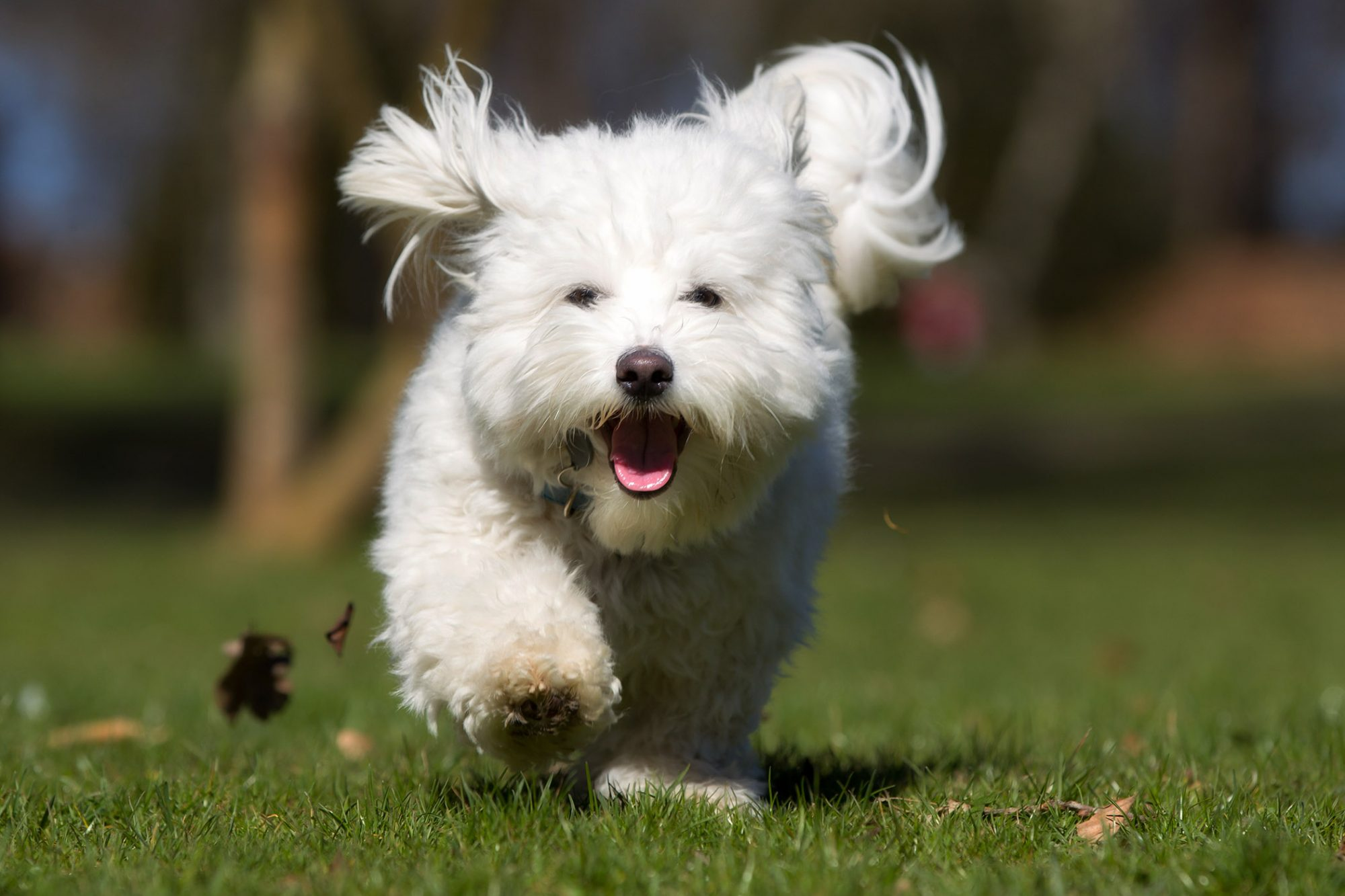 young coton de tulear running in park