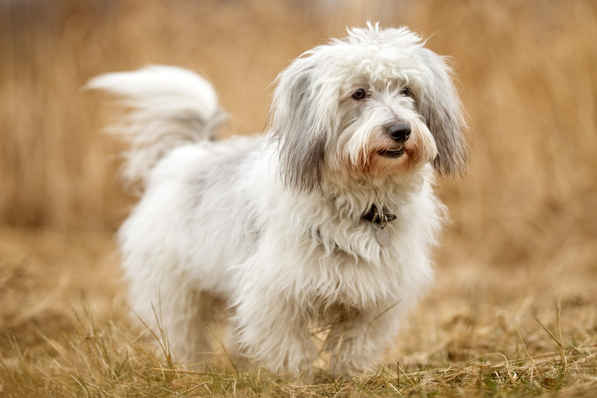 coton de tulear dog standing in field of brown grass