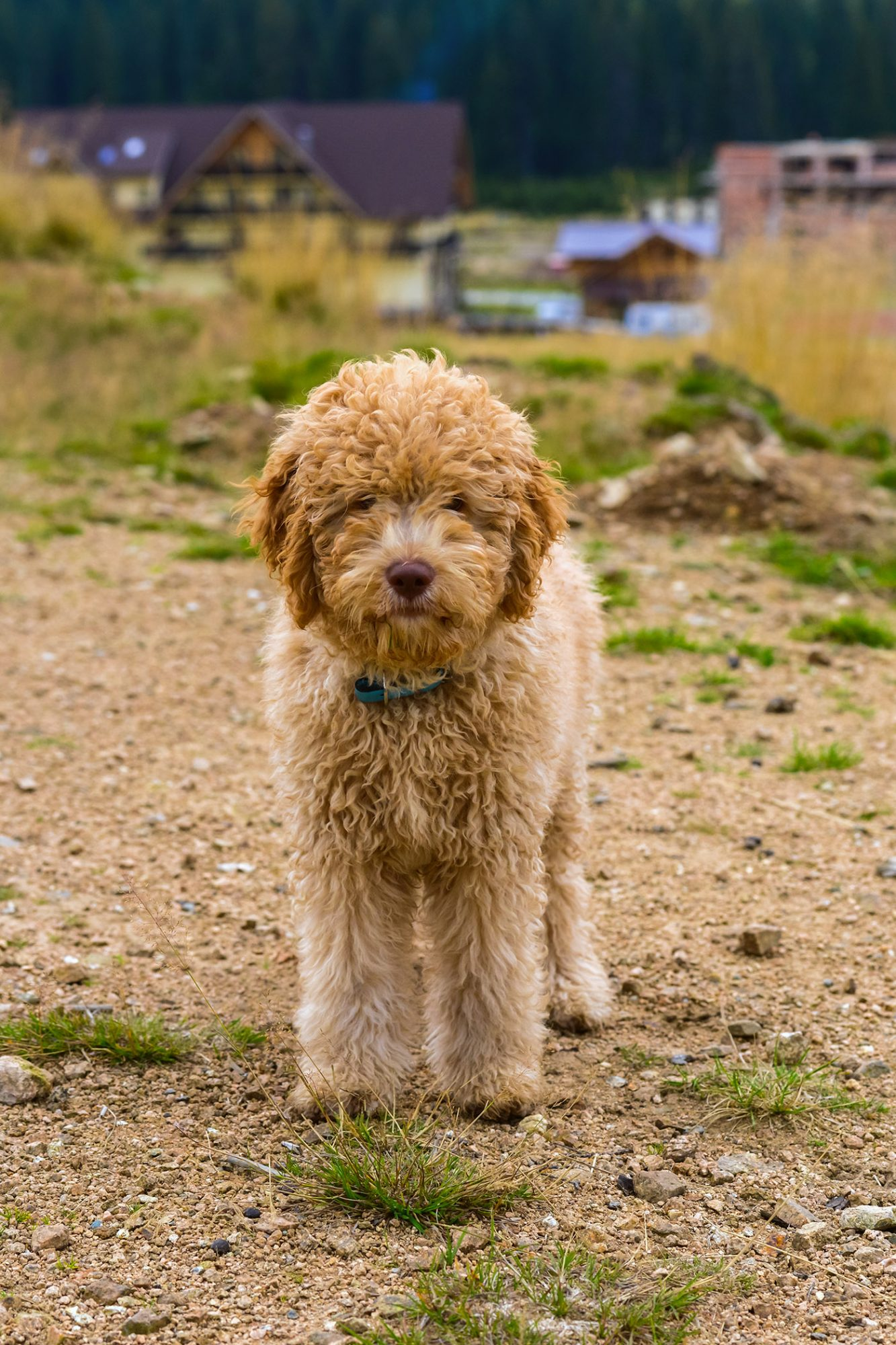 brown lagotto romagnolo or roman water dog standing on dirt path