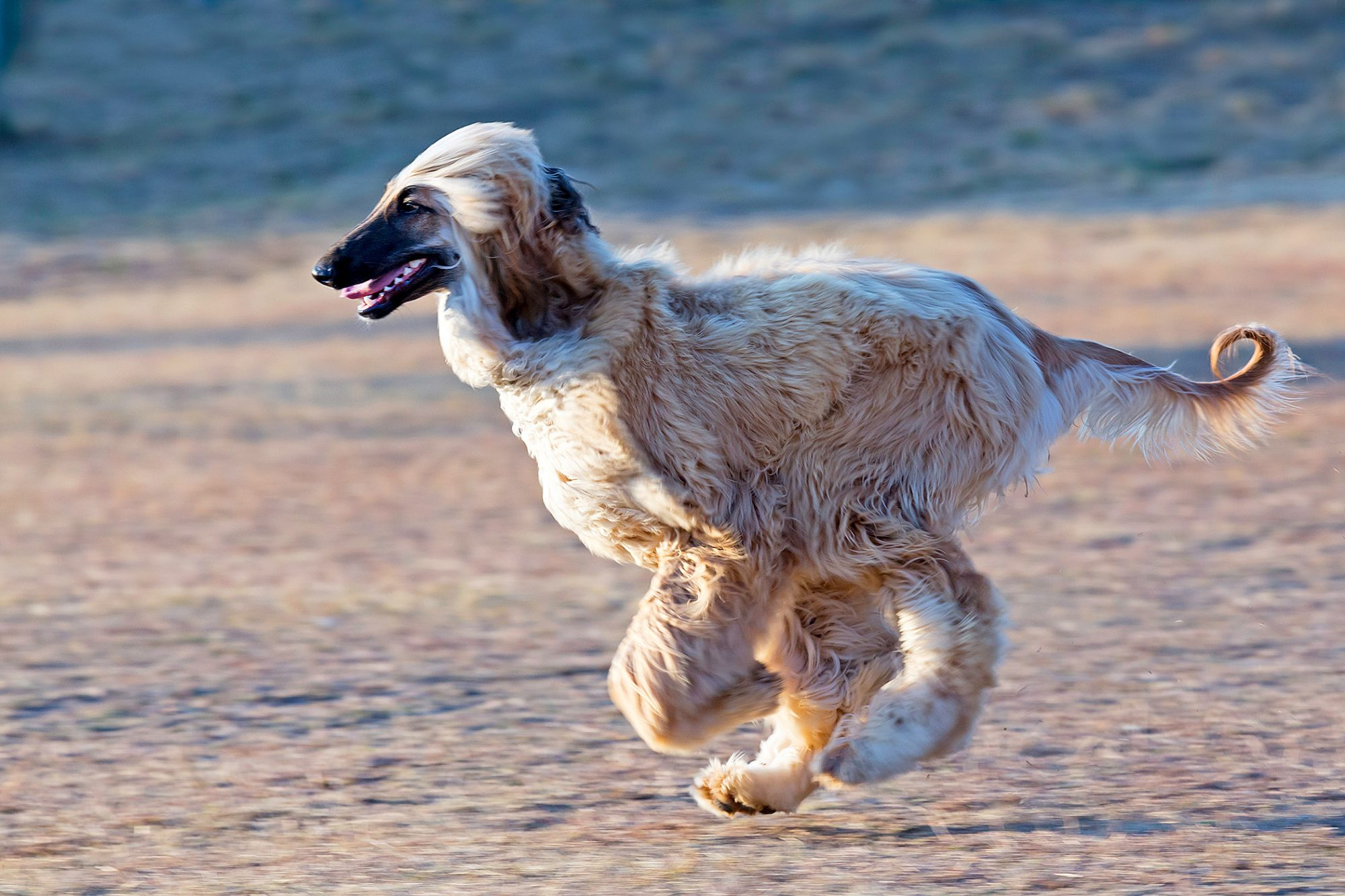 blonde afghan hound running along the beach