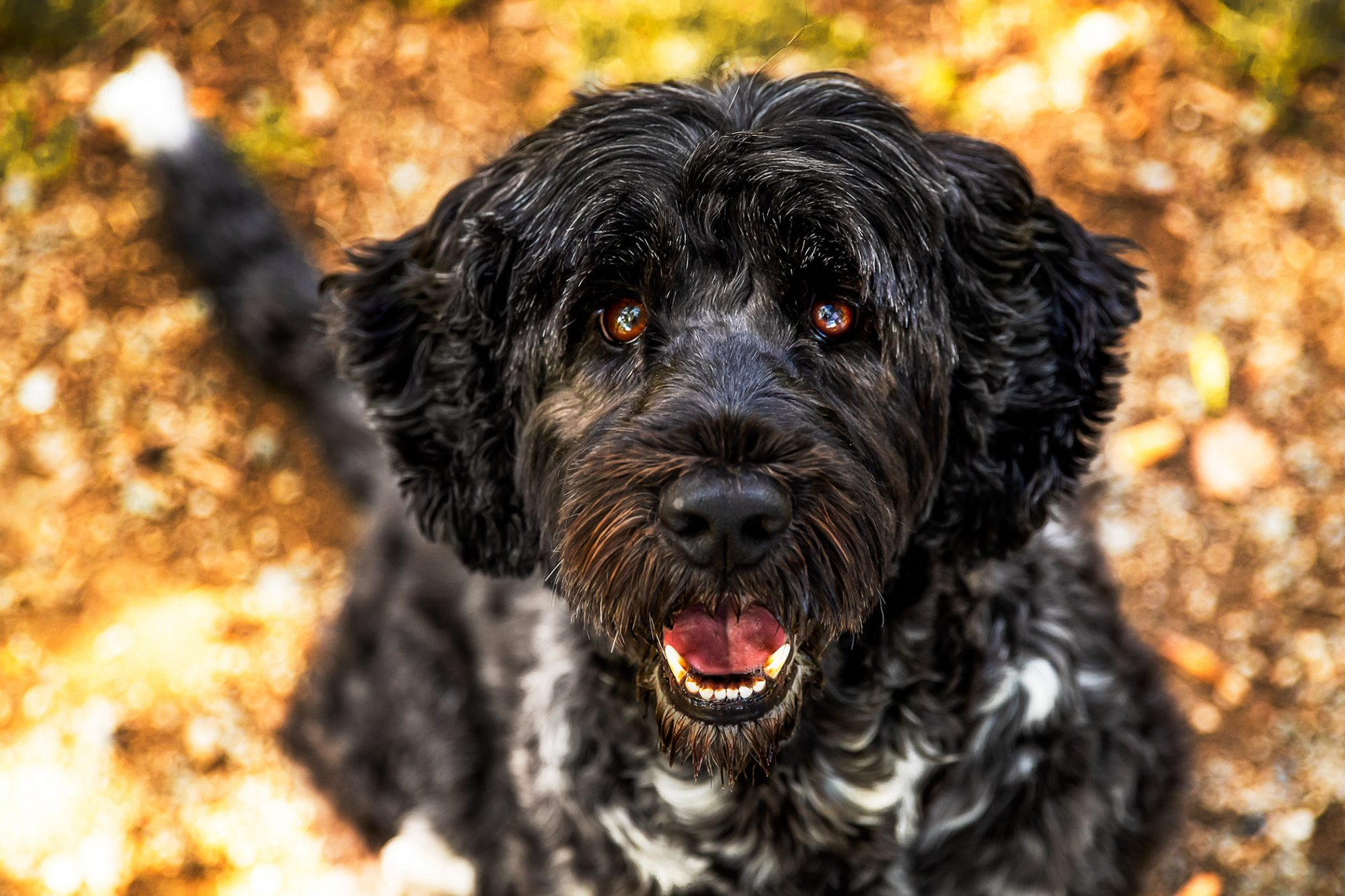 black portuguese water dog looking up at camera