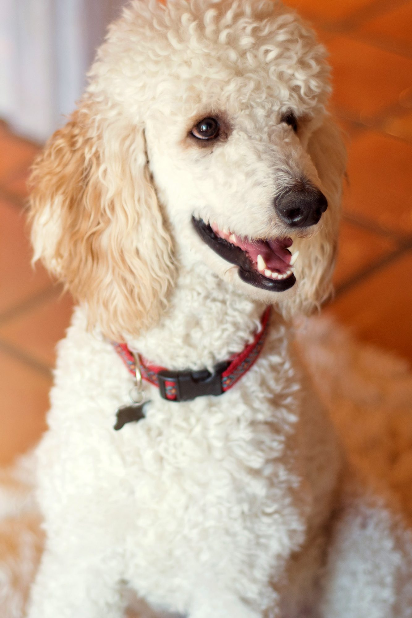 light color standard poodle