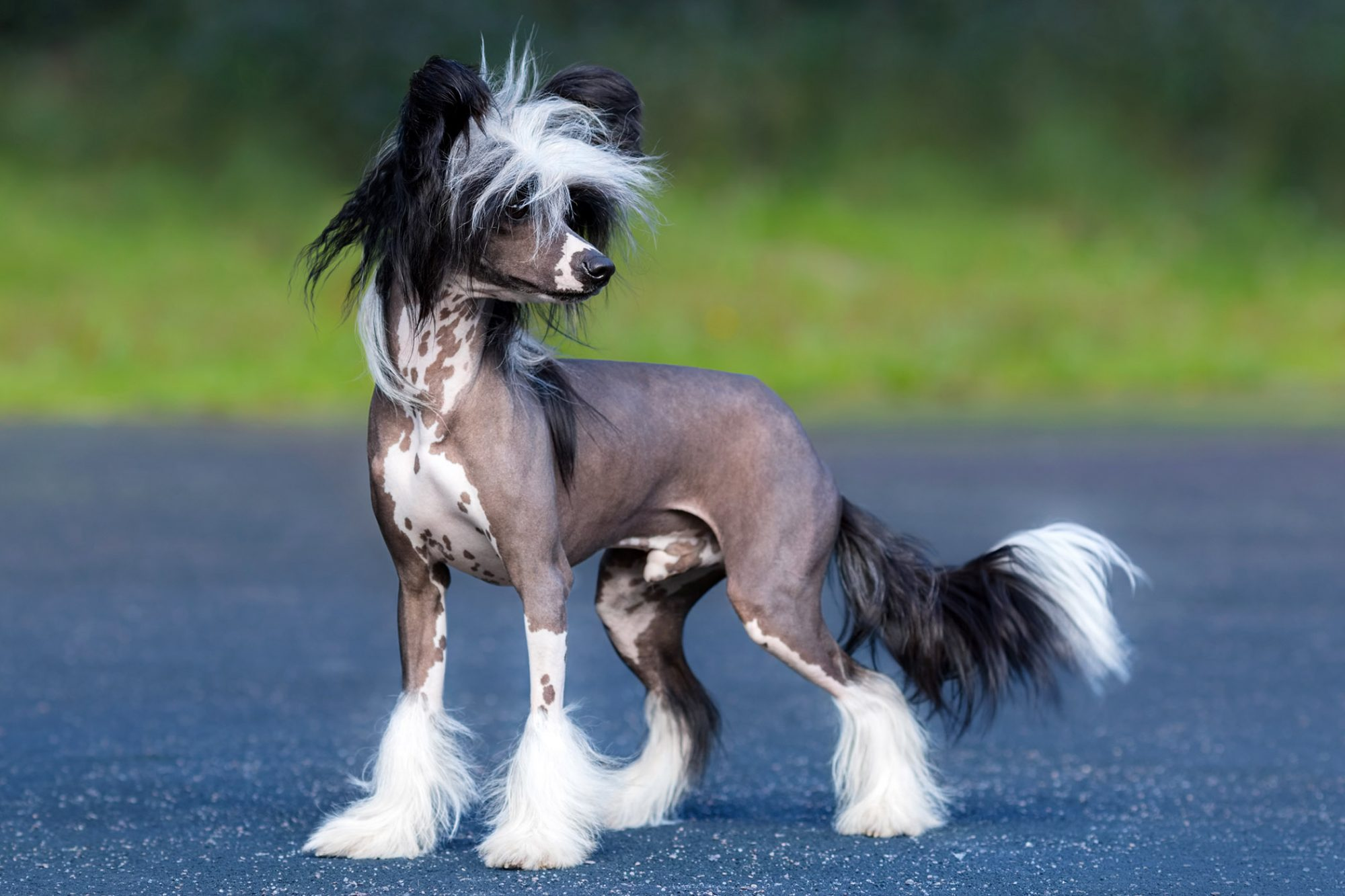 chinese crested dog standing outside