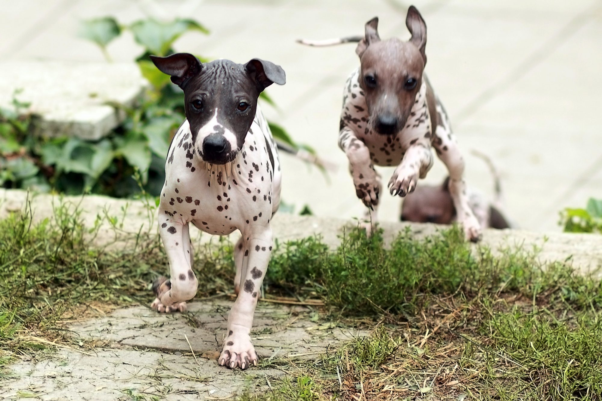 two american hairless terrier puppies running