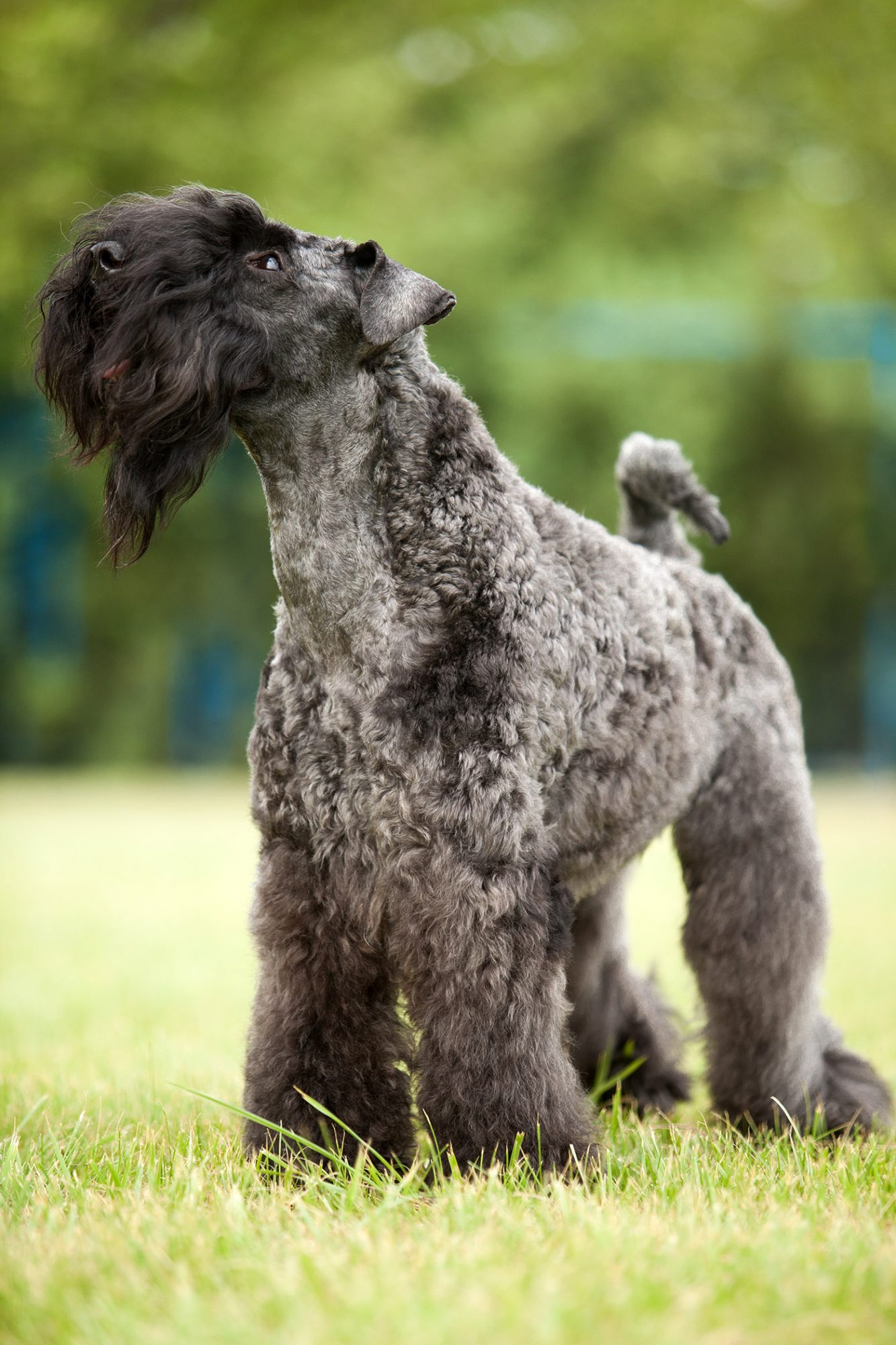 kerry blue terrier outside