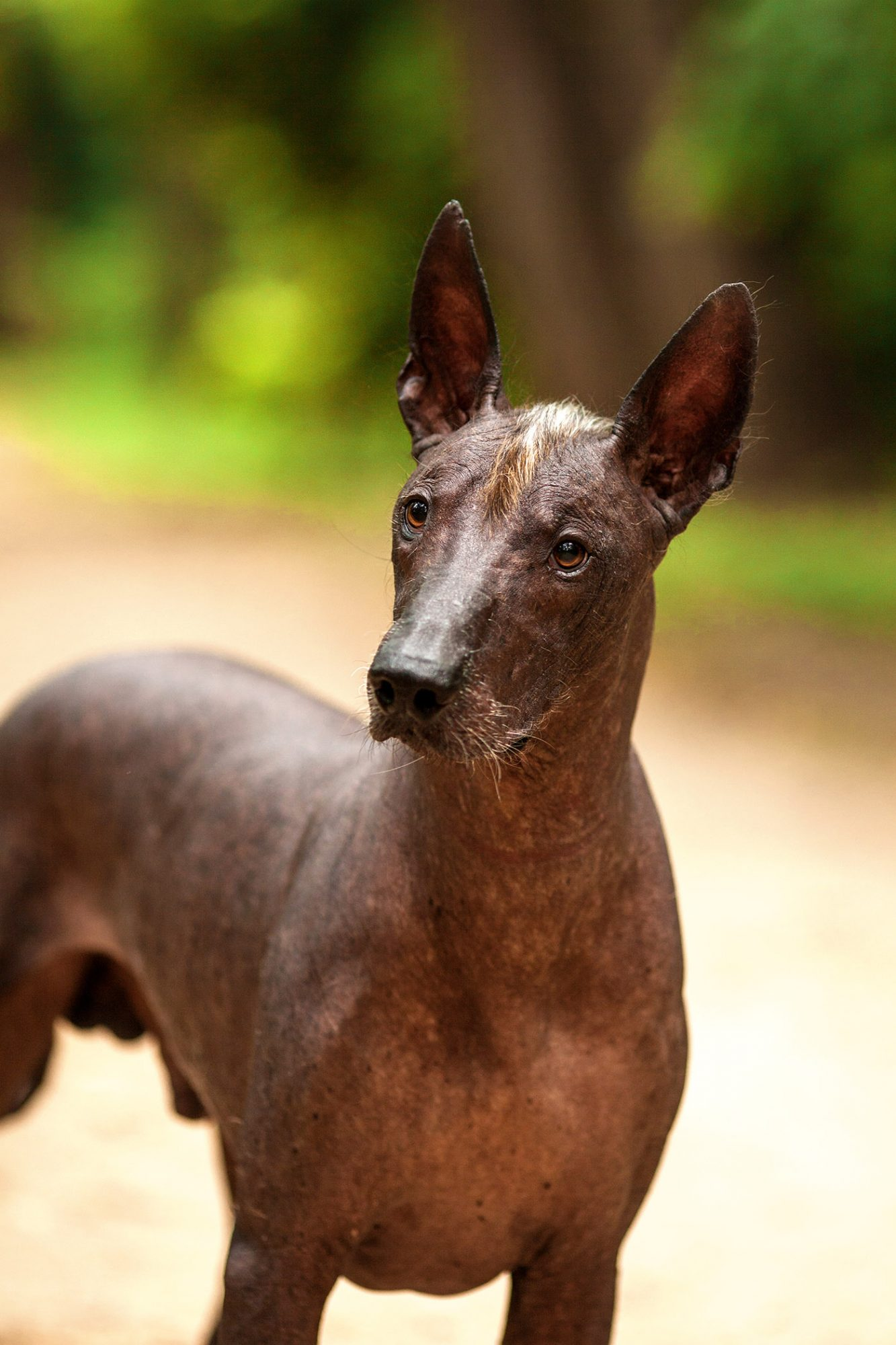 Xoloitzcuintli or Mexican hairless dog