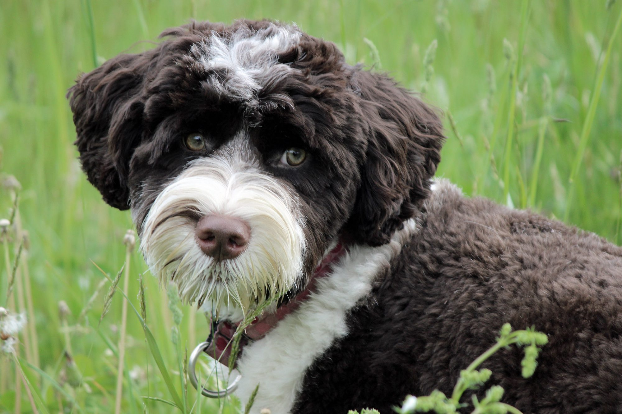 portuguese water dog puppy in grass