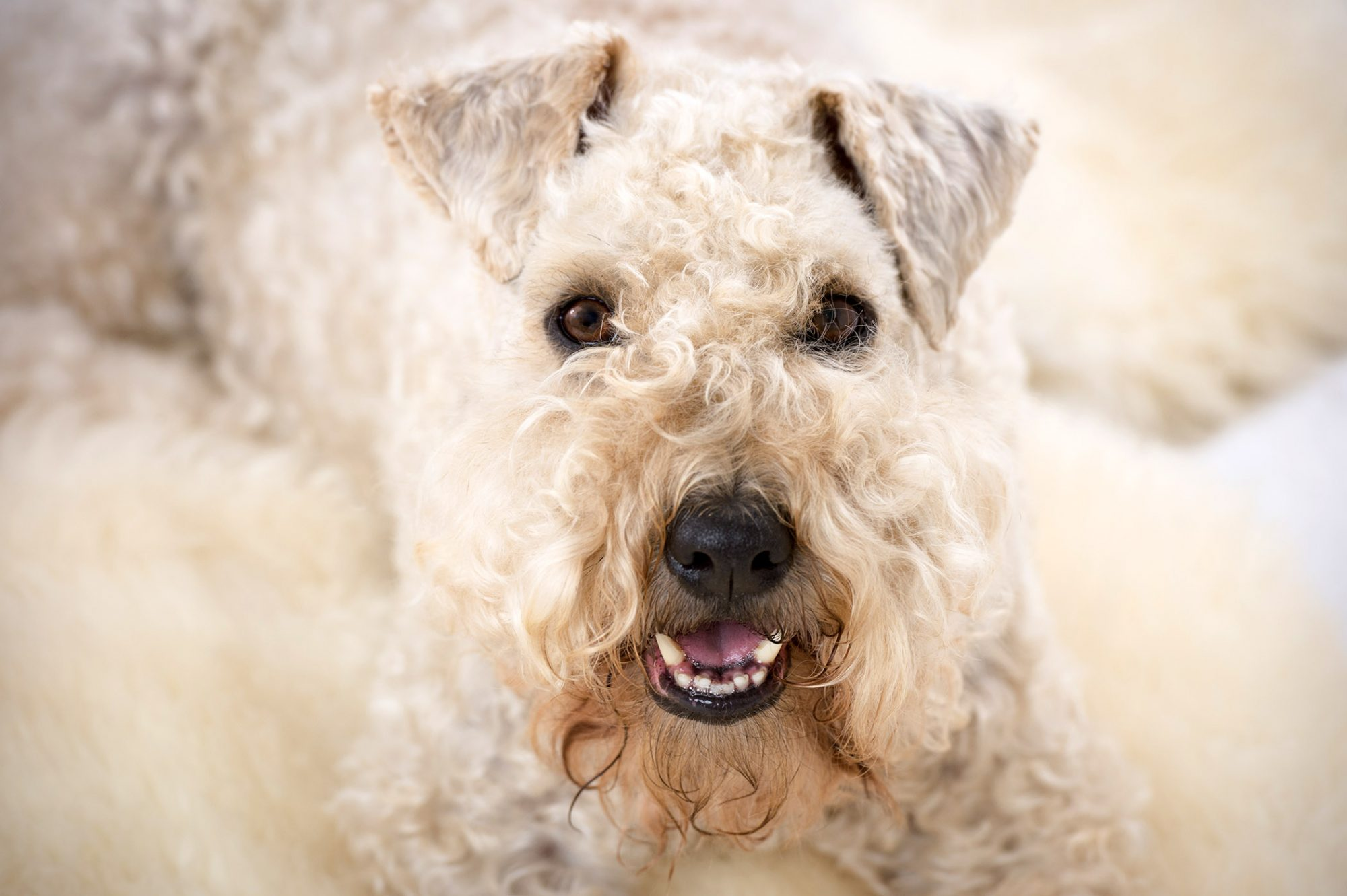 soft coated wheaten terrier closeup face