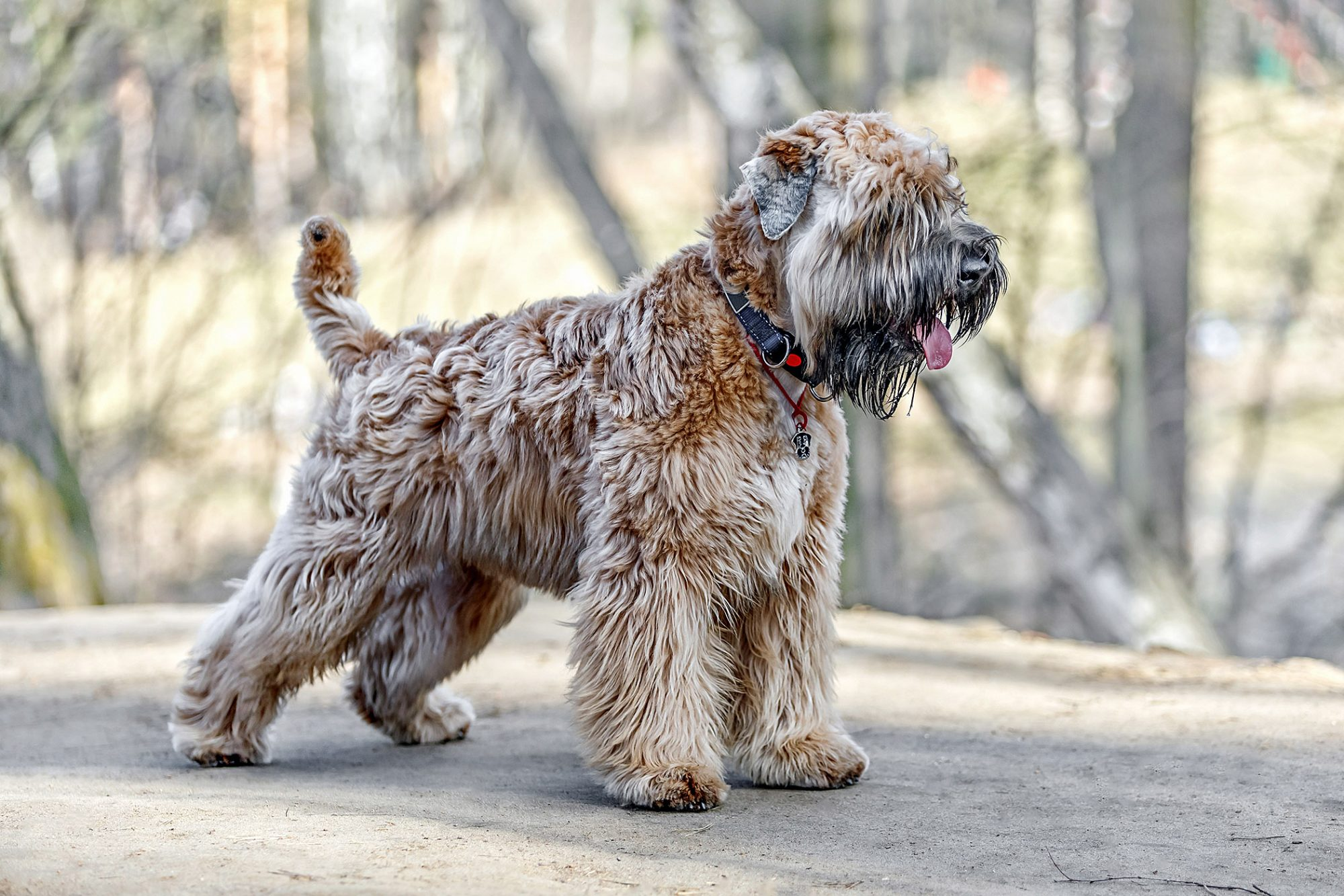 soft coated wheaten terrier standing on dirt path