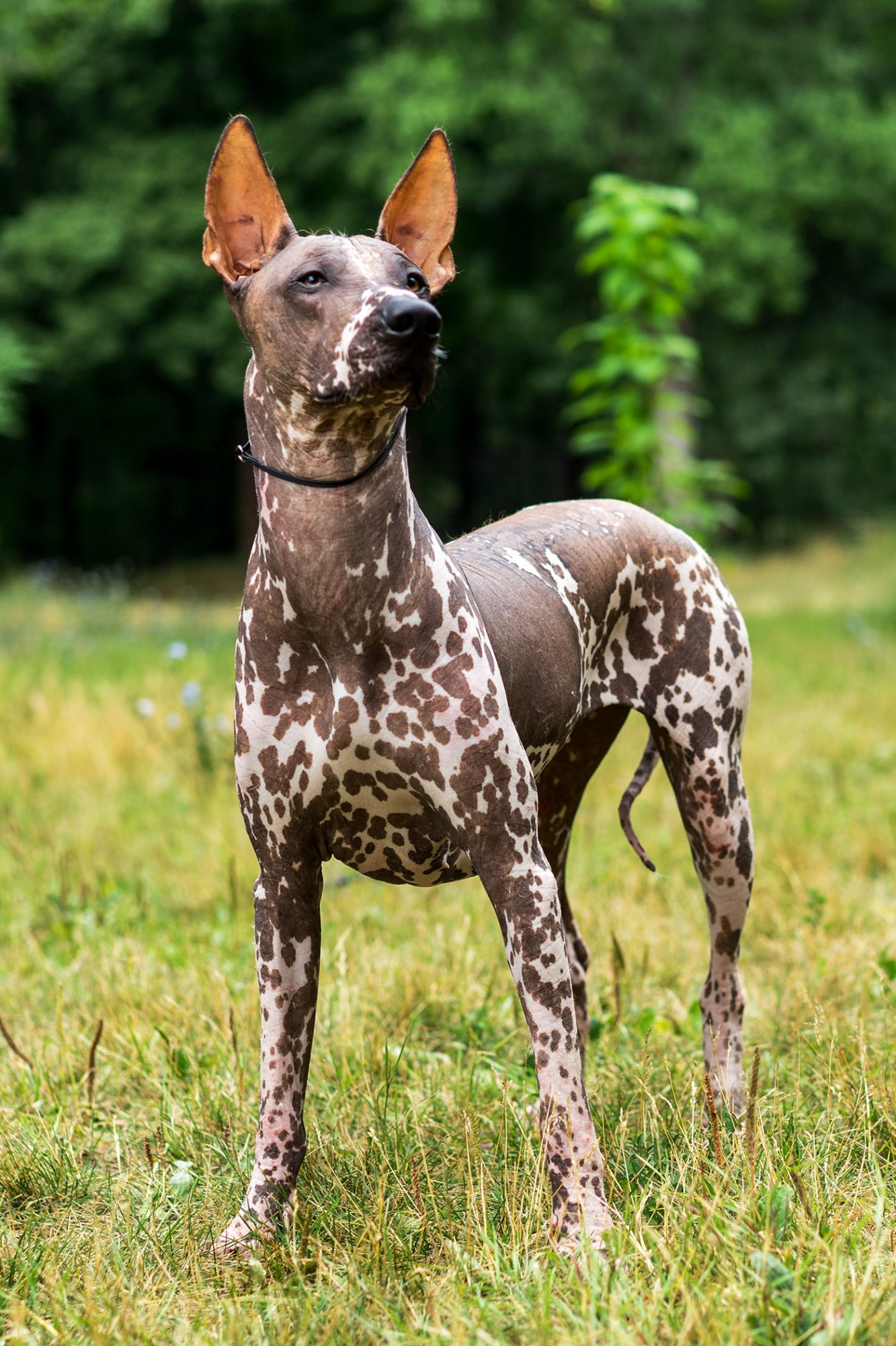 spotted xoloitzcuintle or Mexican hairless dog in grass