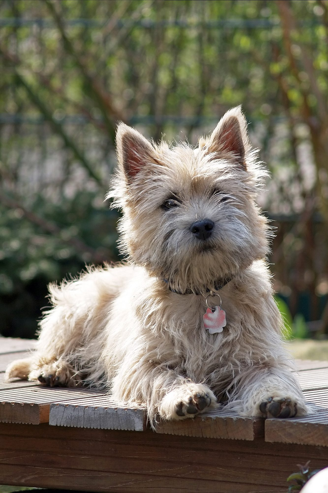 young cairn terrier lying on dock