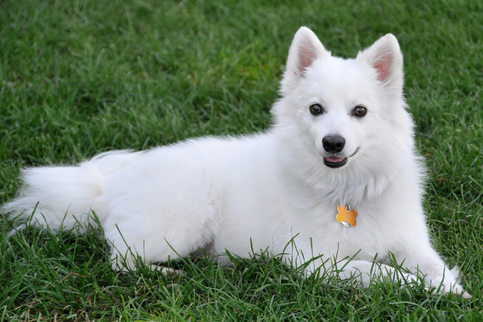 American Eskimo dog laying on grass