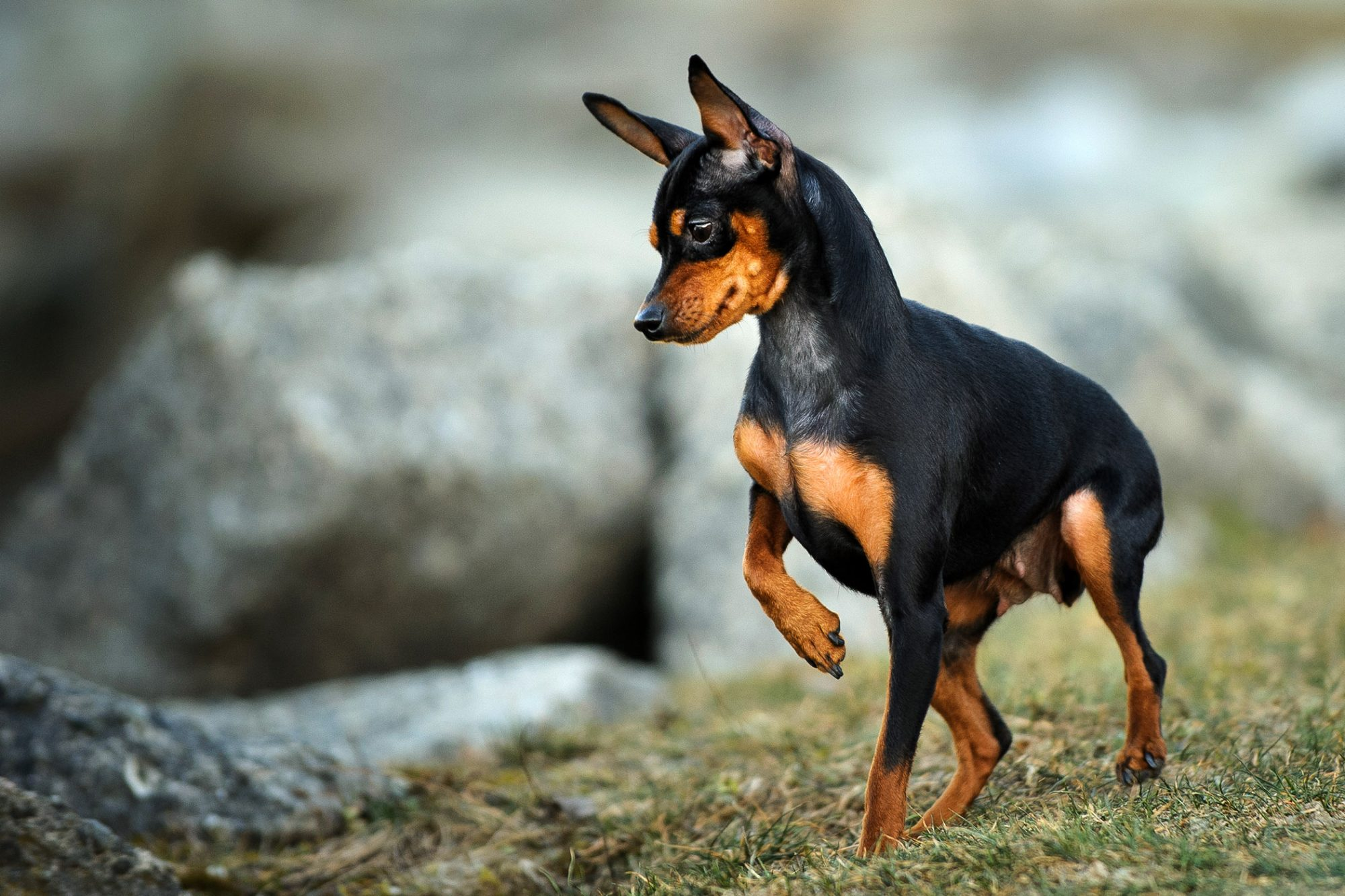 black-and-tan miniature pinscher