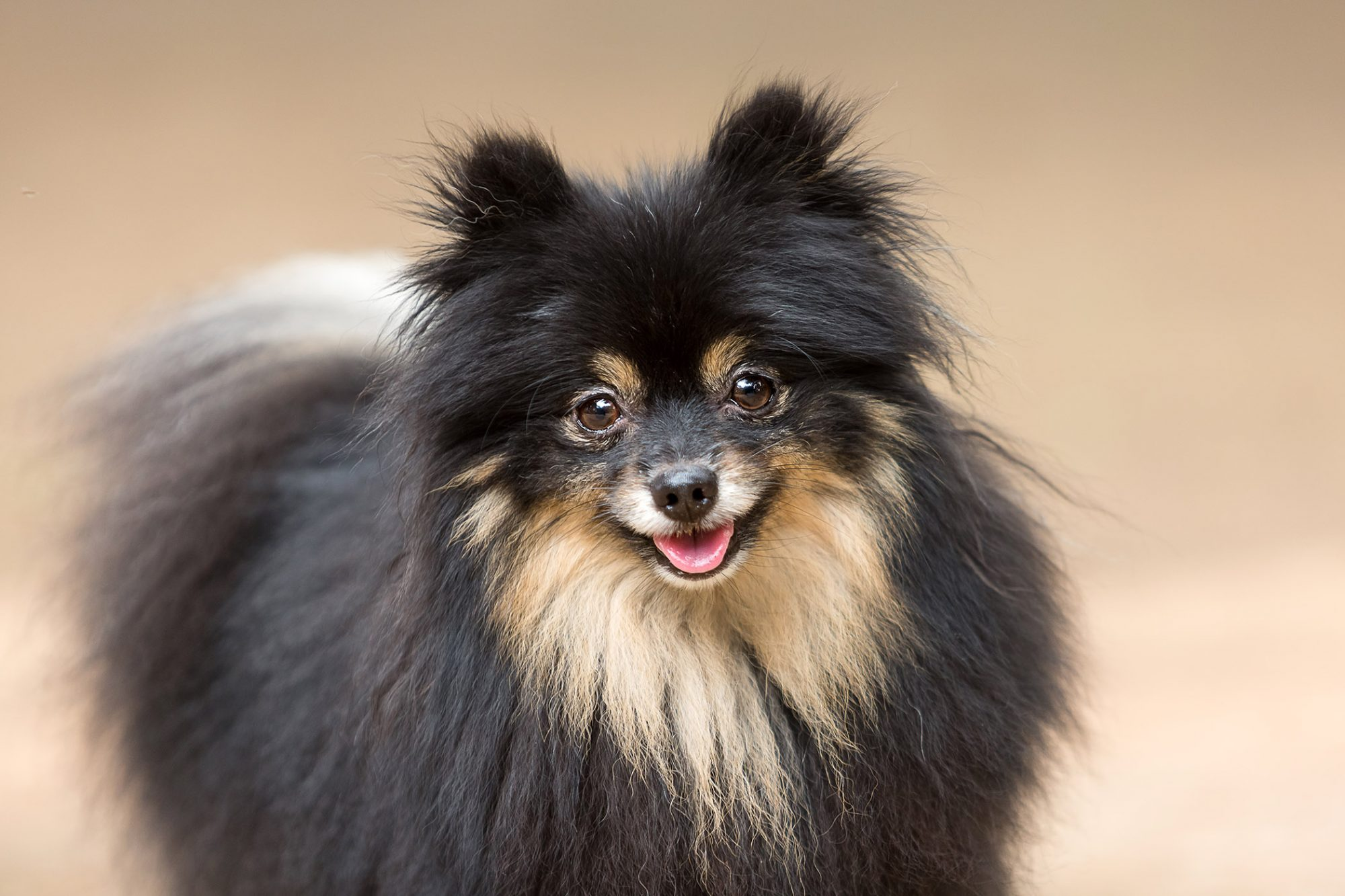 black-and-tan pomeranian