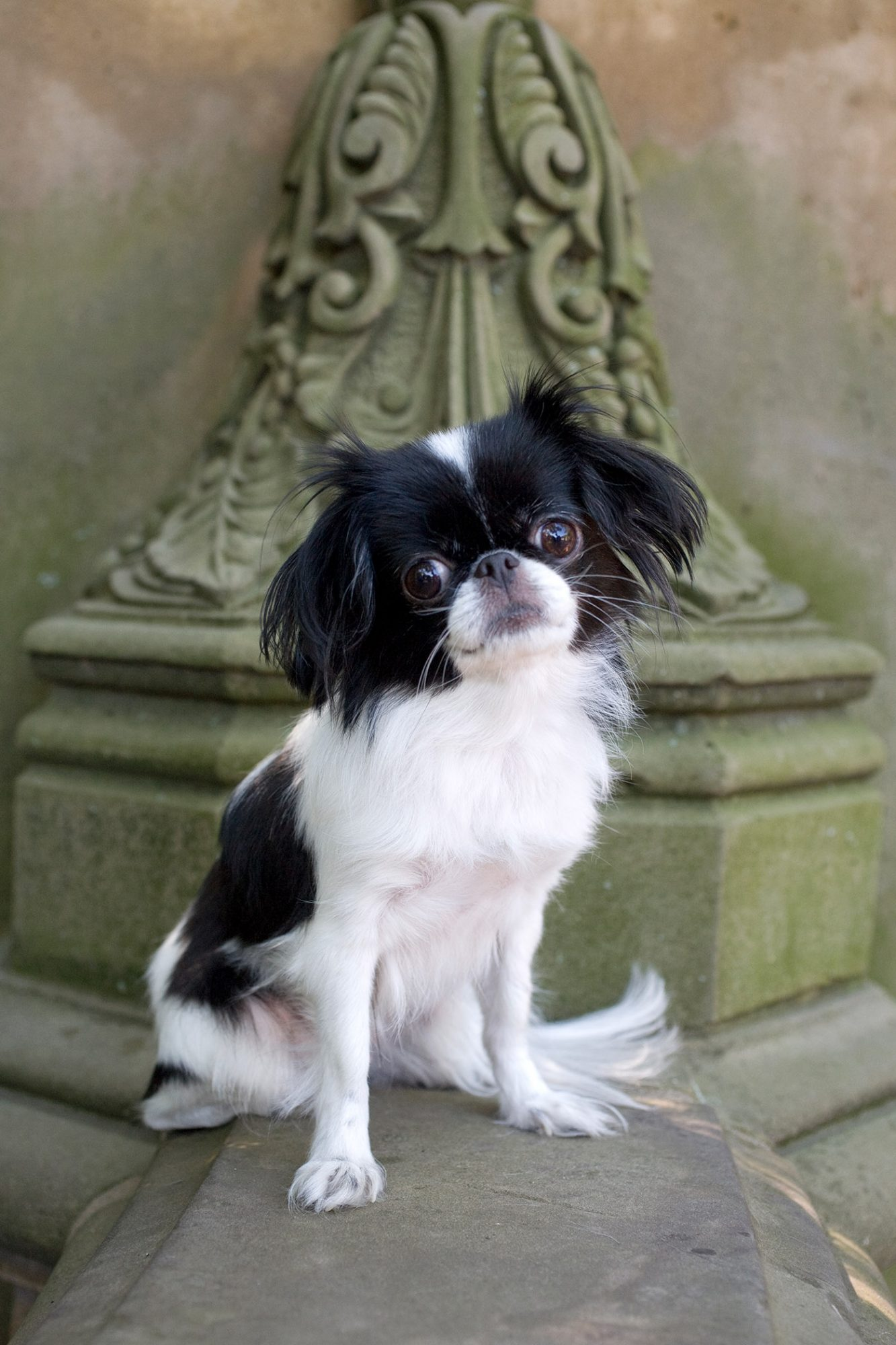 black-and-white japanese chin