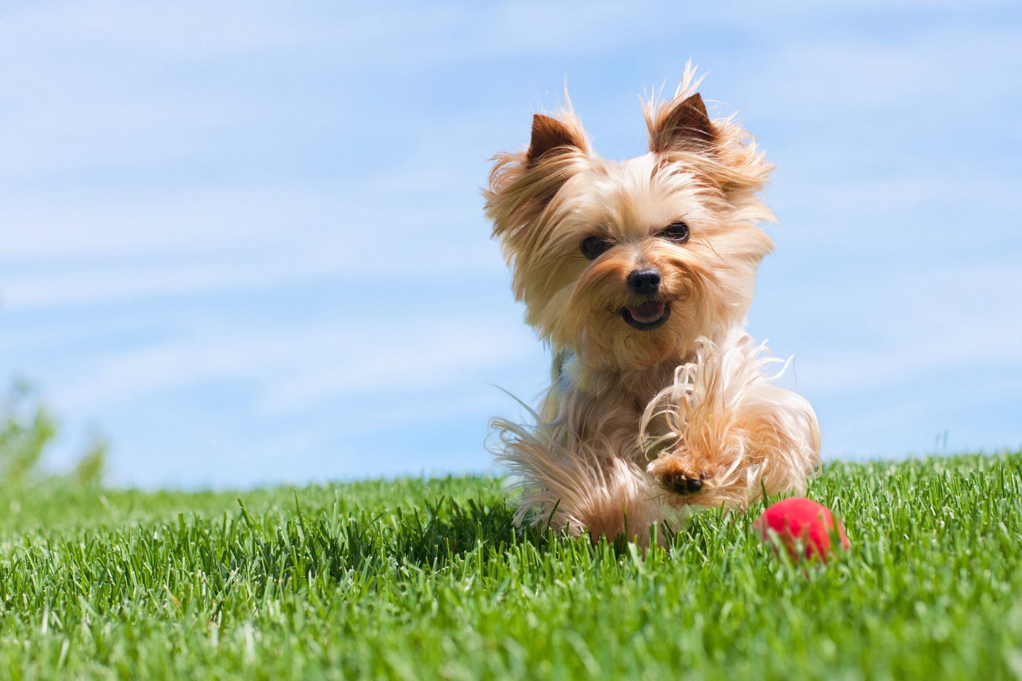 light-color yorkshire terrier or yorkie running in grass