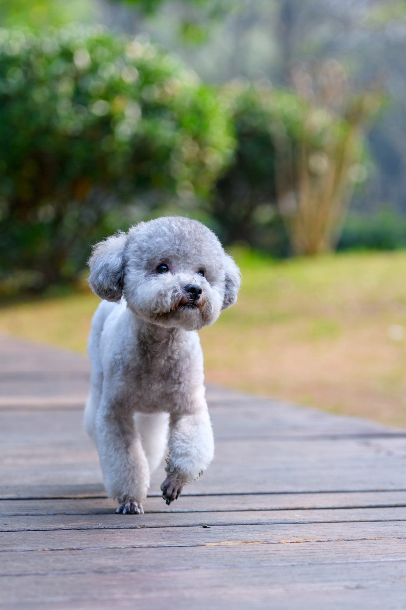 gray toy poodle walking along path