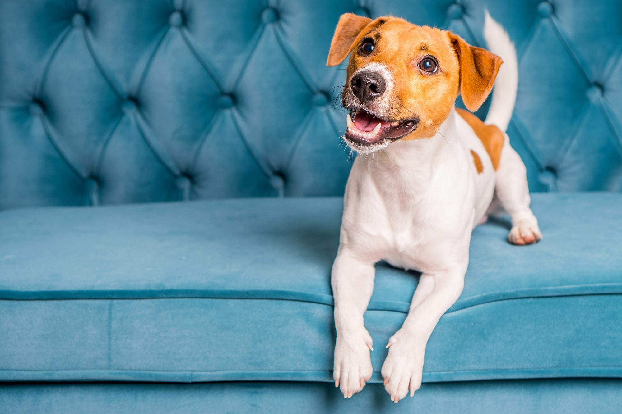 parson russell terrier or jack russell terrier on sofa