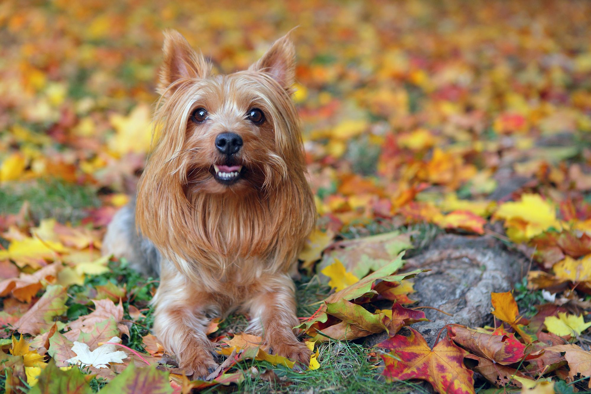 silky terrier with long hair sitting in fall leaves