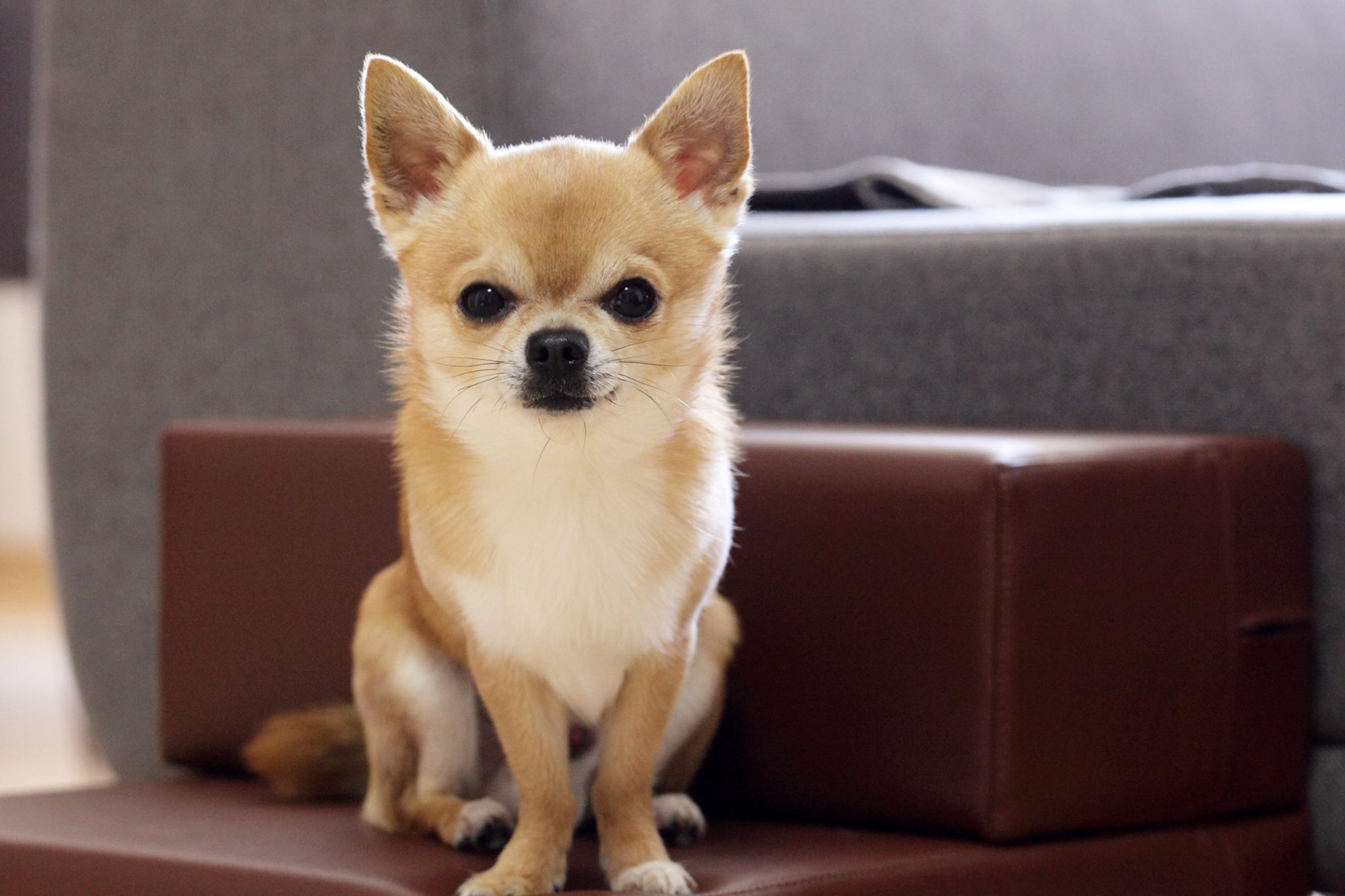 tan-and-white Chihuahua sitting on stairs near sofa