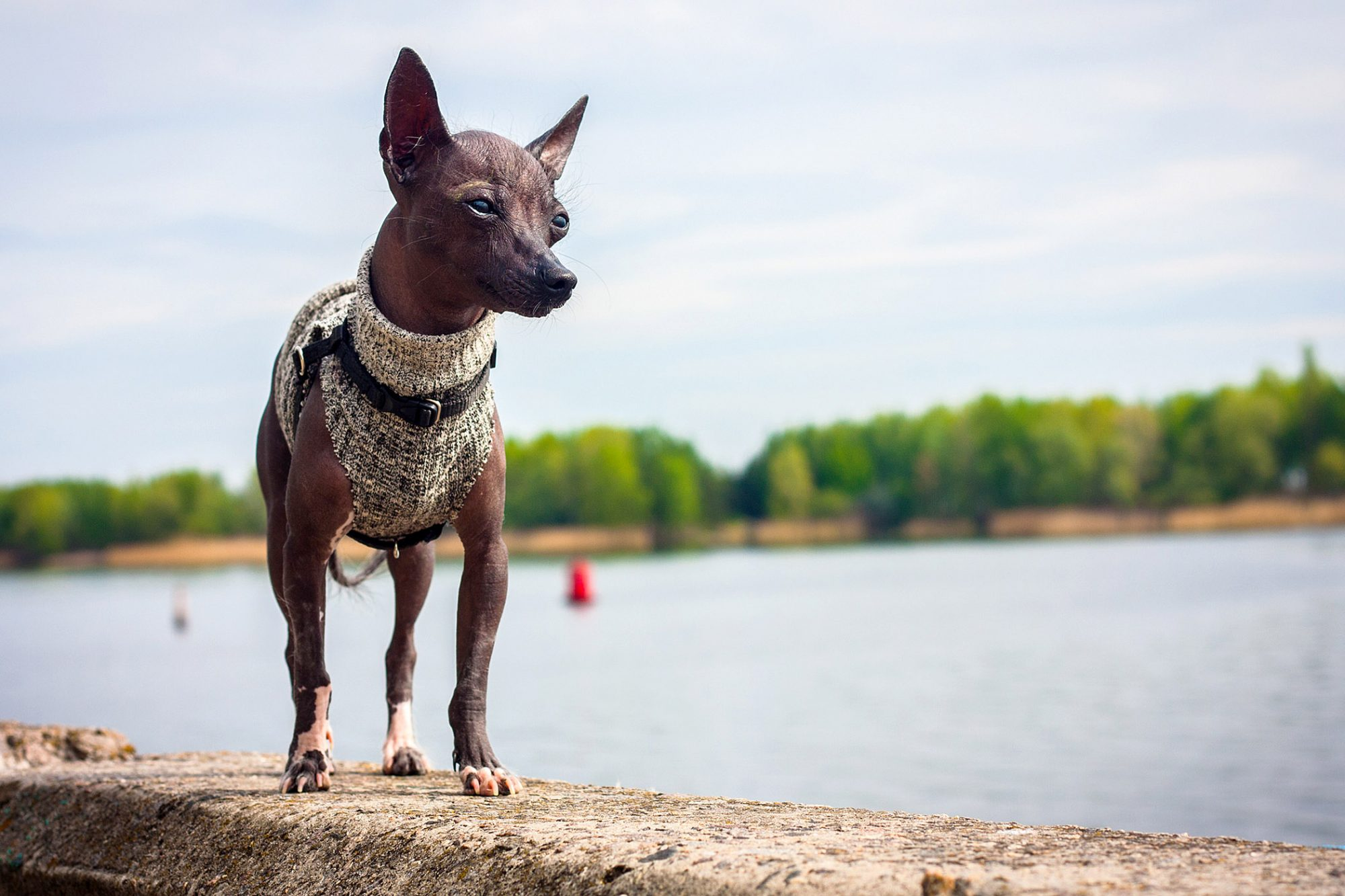 tiny Xoloitzcuintle or Mexican hairless dog wearing a sweater