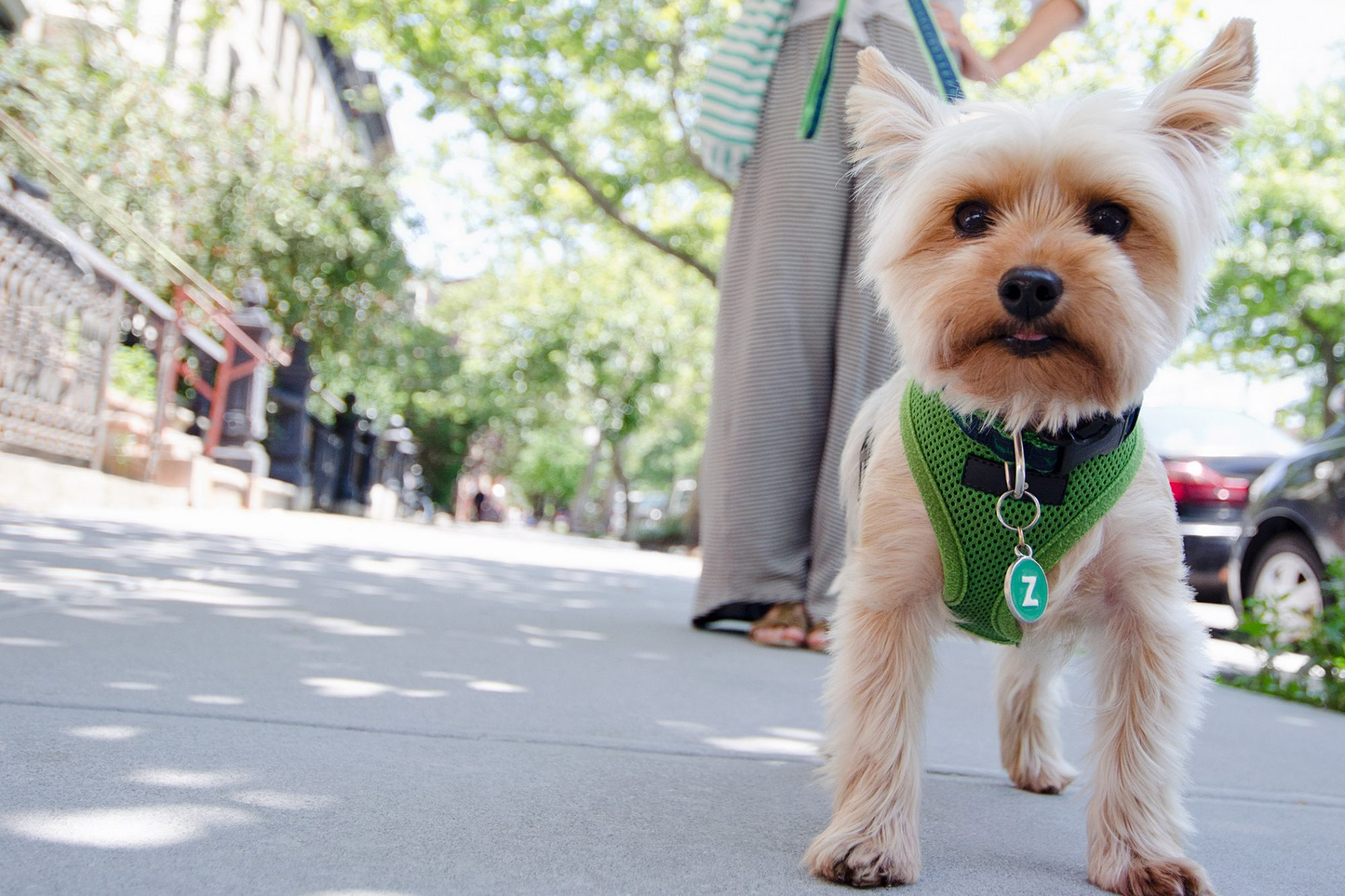 light-color yorkie walking on leash in the city