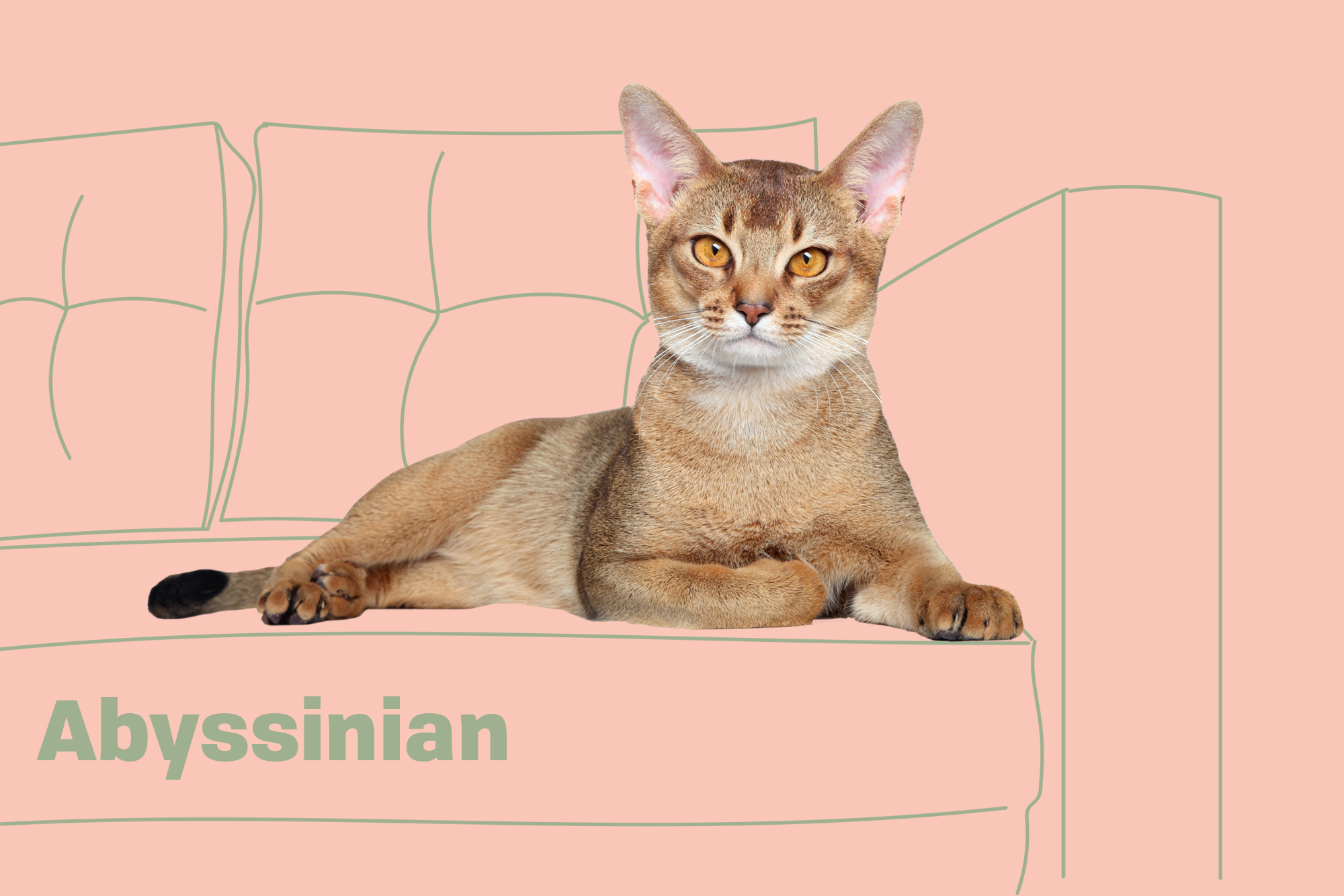 Abyssinian Breed Photo