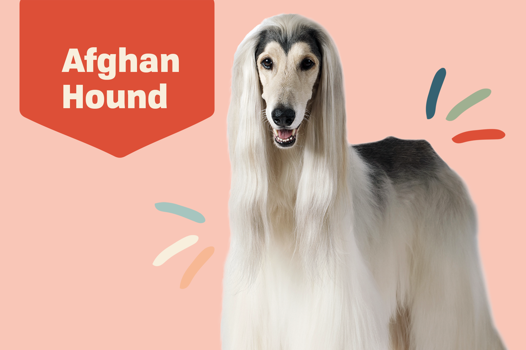 Afghan Hound Breed Photo