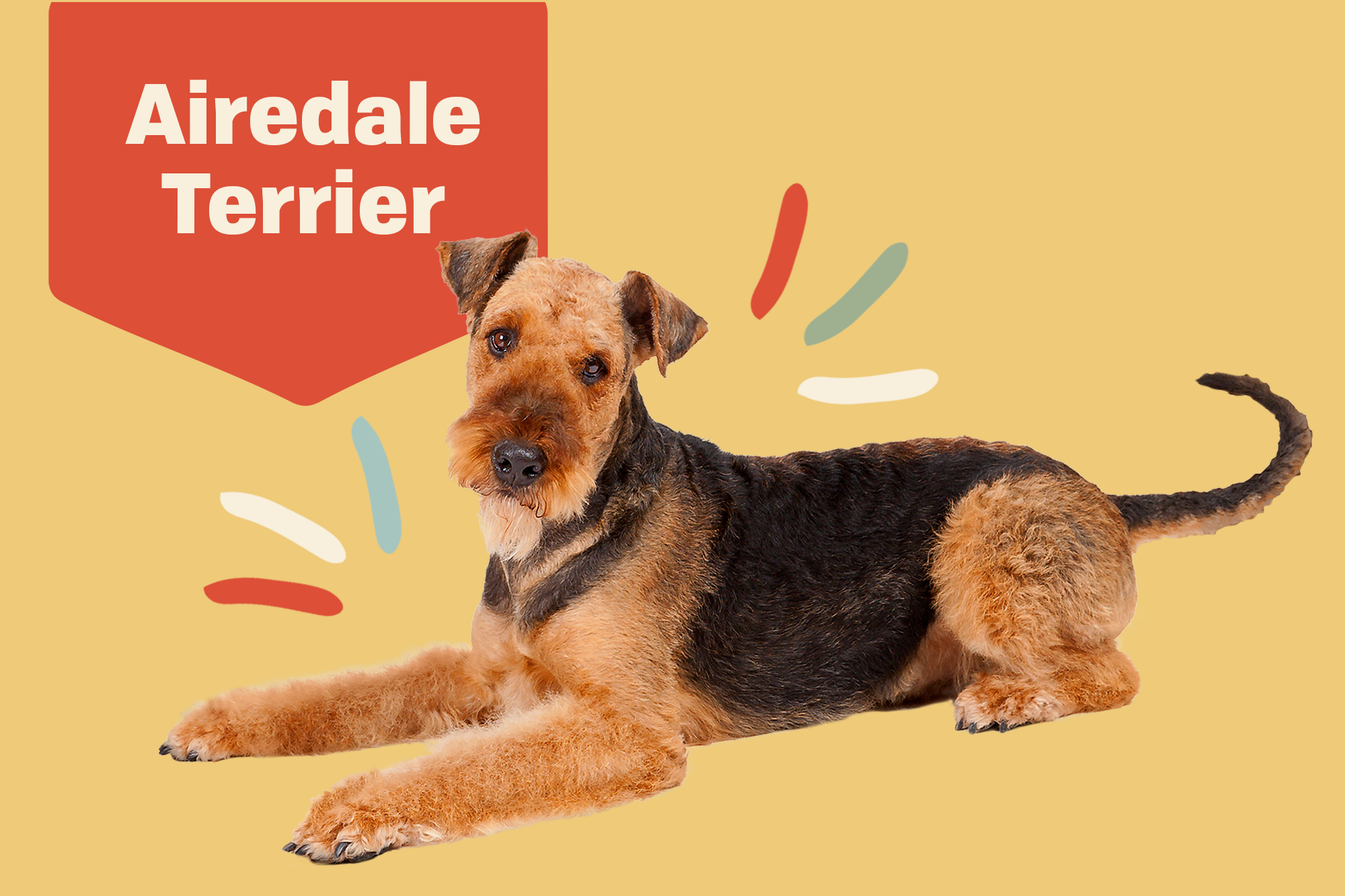 Airedale Terrier Breed Photo