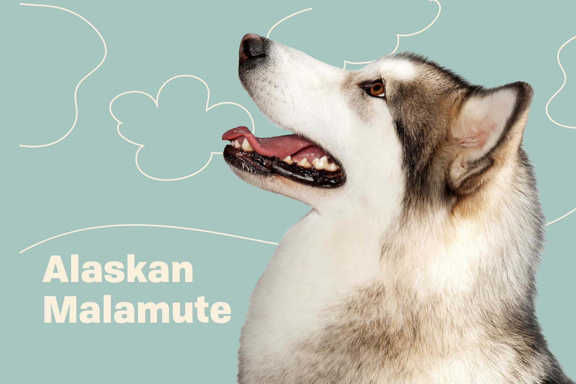 Alaskan Malamute Breed Photo