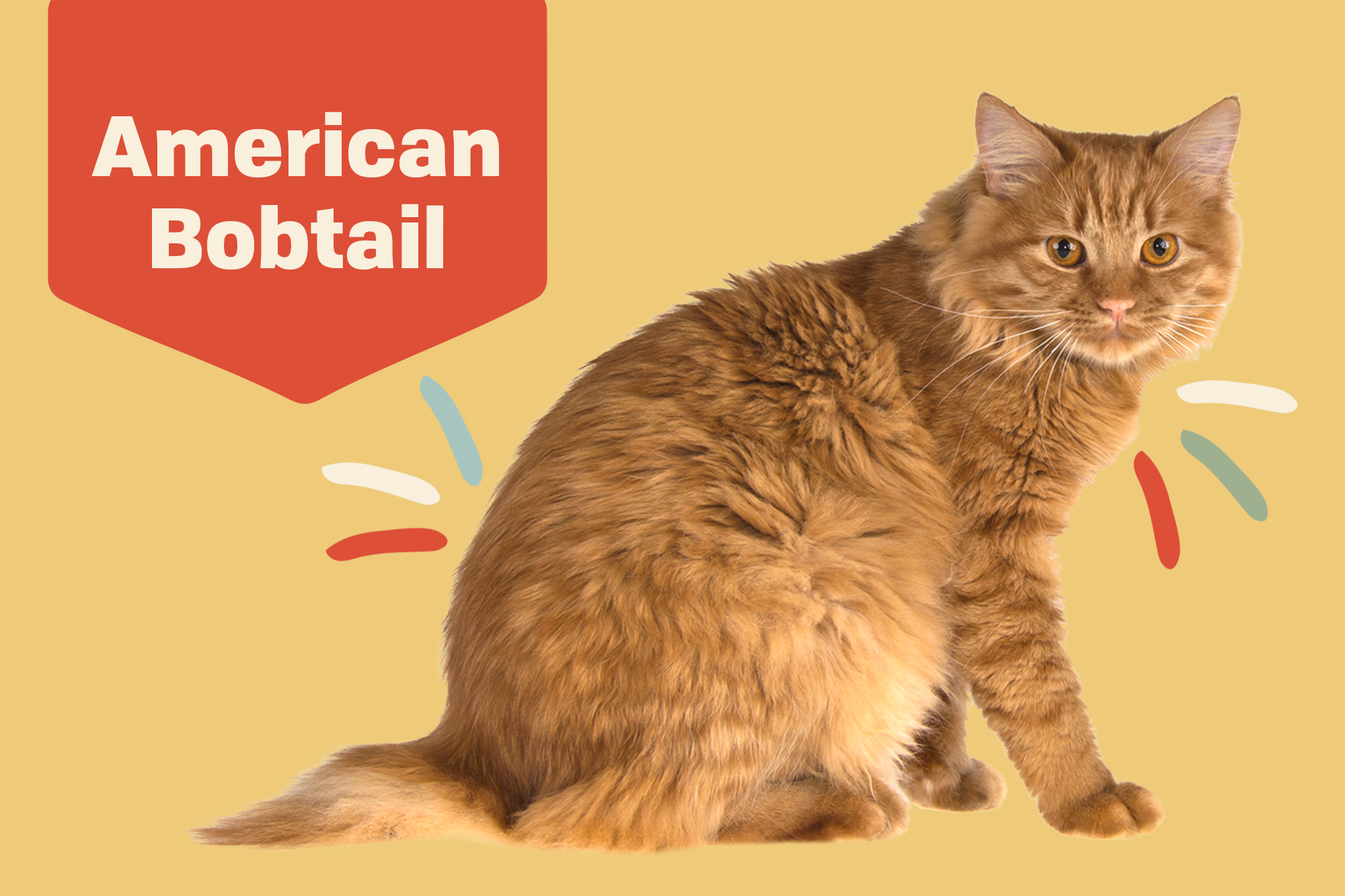 American Bobtail Breed Photo