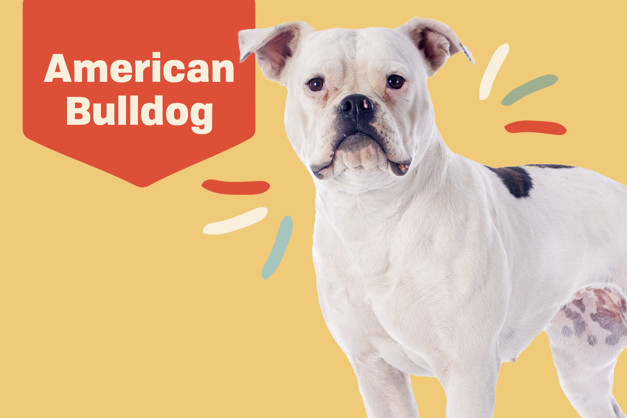 American Bulldog Breed Photo
